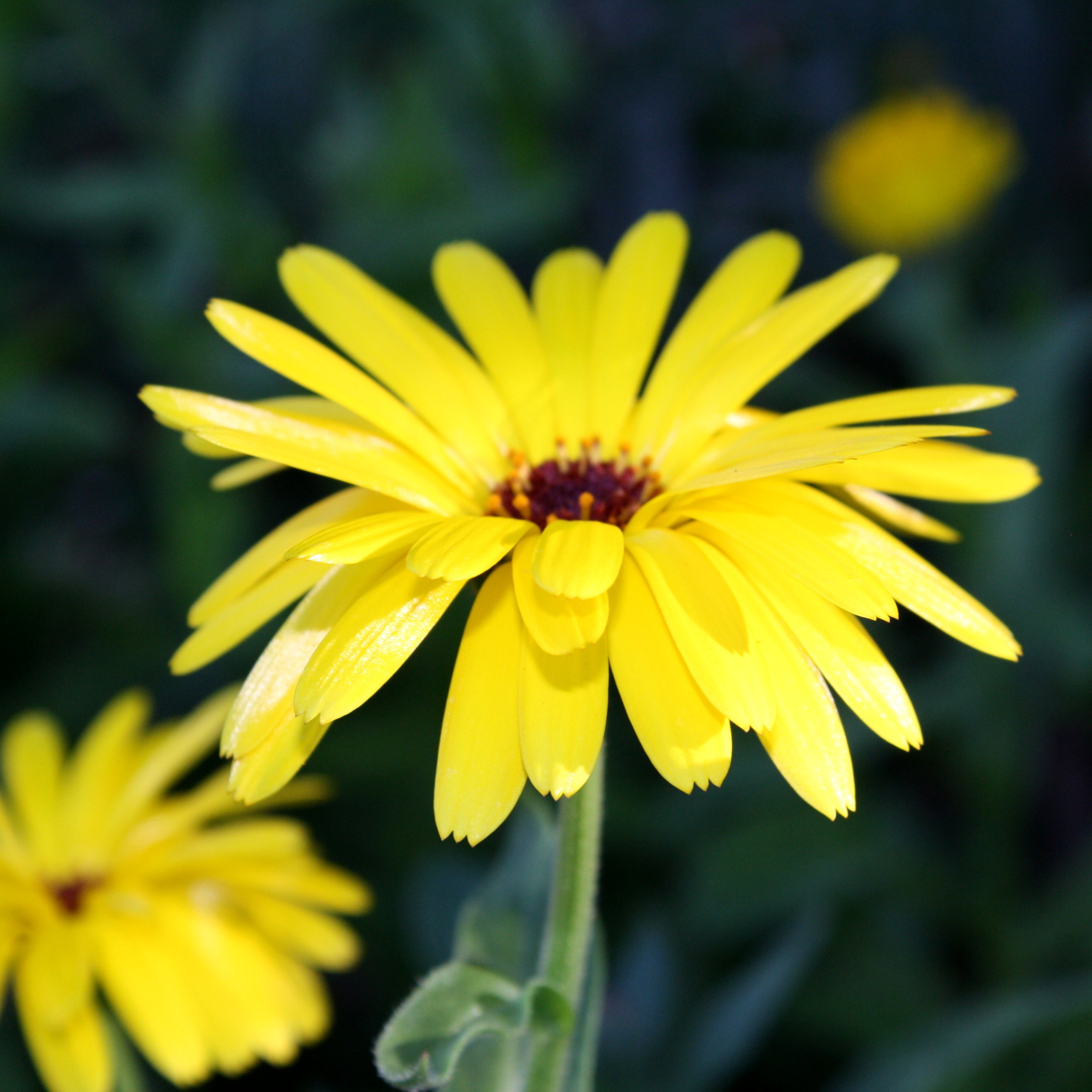 Free Photo Yellow Flower Yellow Plant Bloom Free Download