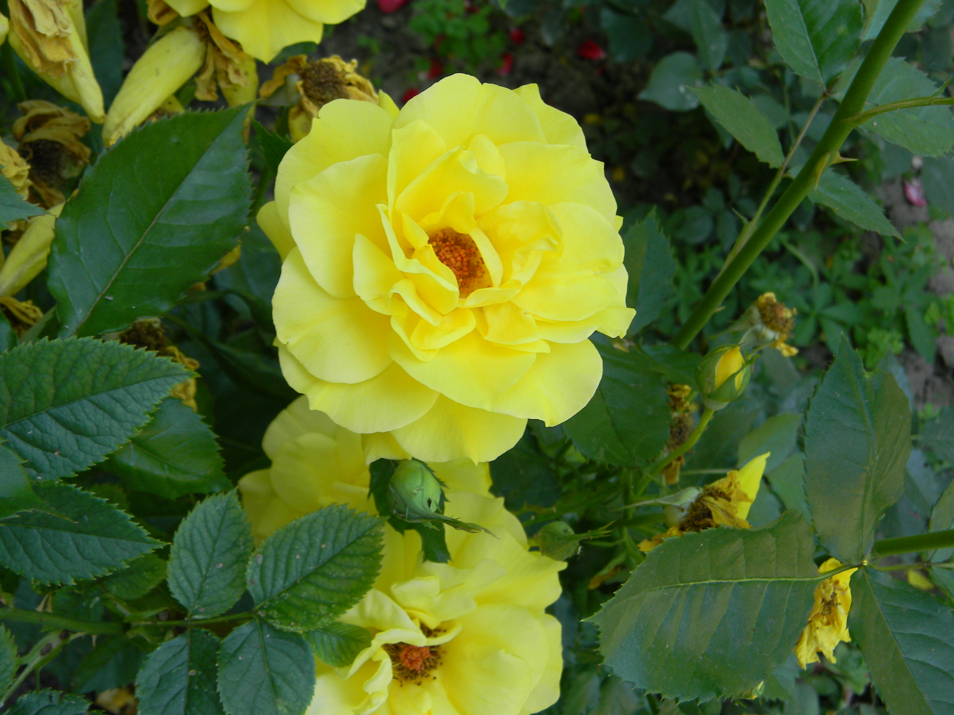 Yellow flower, Flower, Nature, Plants, Rose, HQ Photo