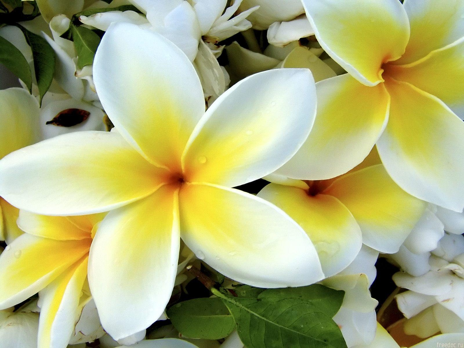 White Yellow Flowers Wallpapers in jpg format for free download