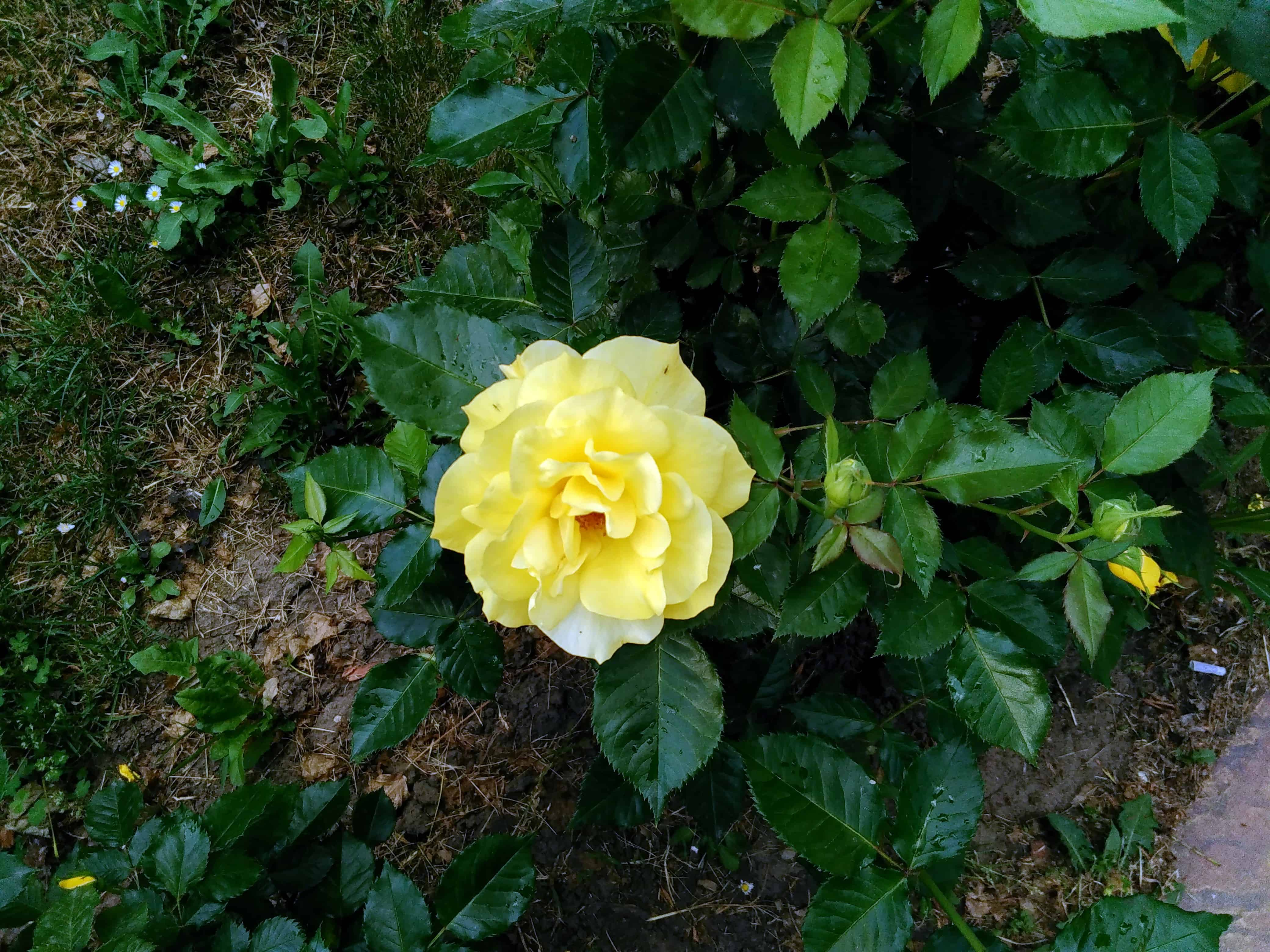 Free picture: flora, yellow flower, garden, nature, leaf, rose ...