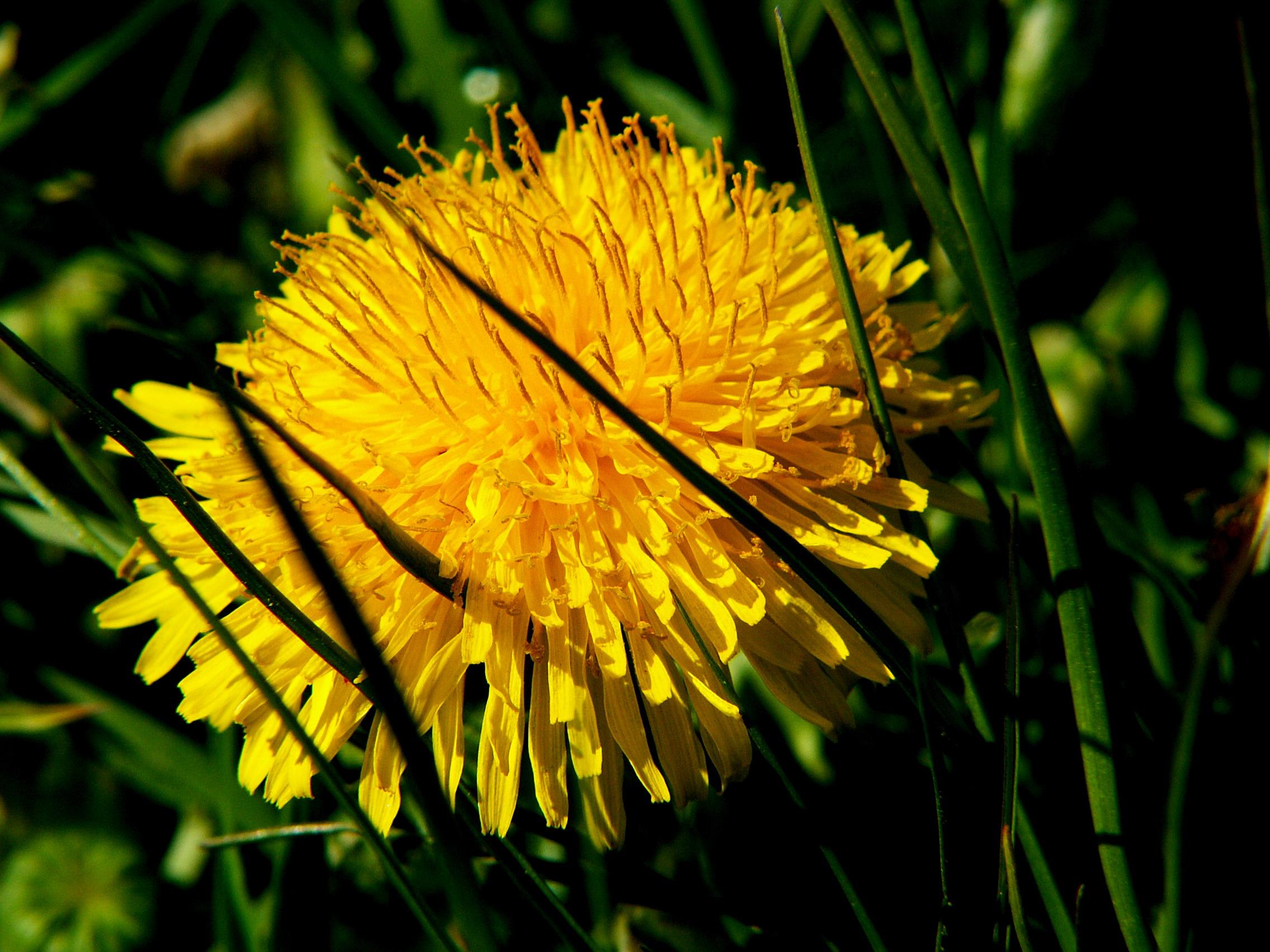 Free Photo Yellow Flower Poland Sun Yellow Free Download Jooinn