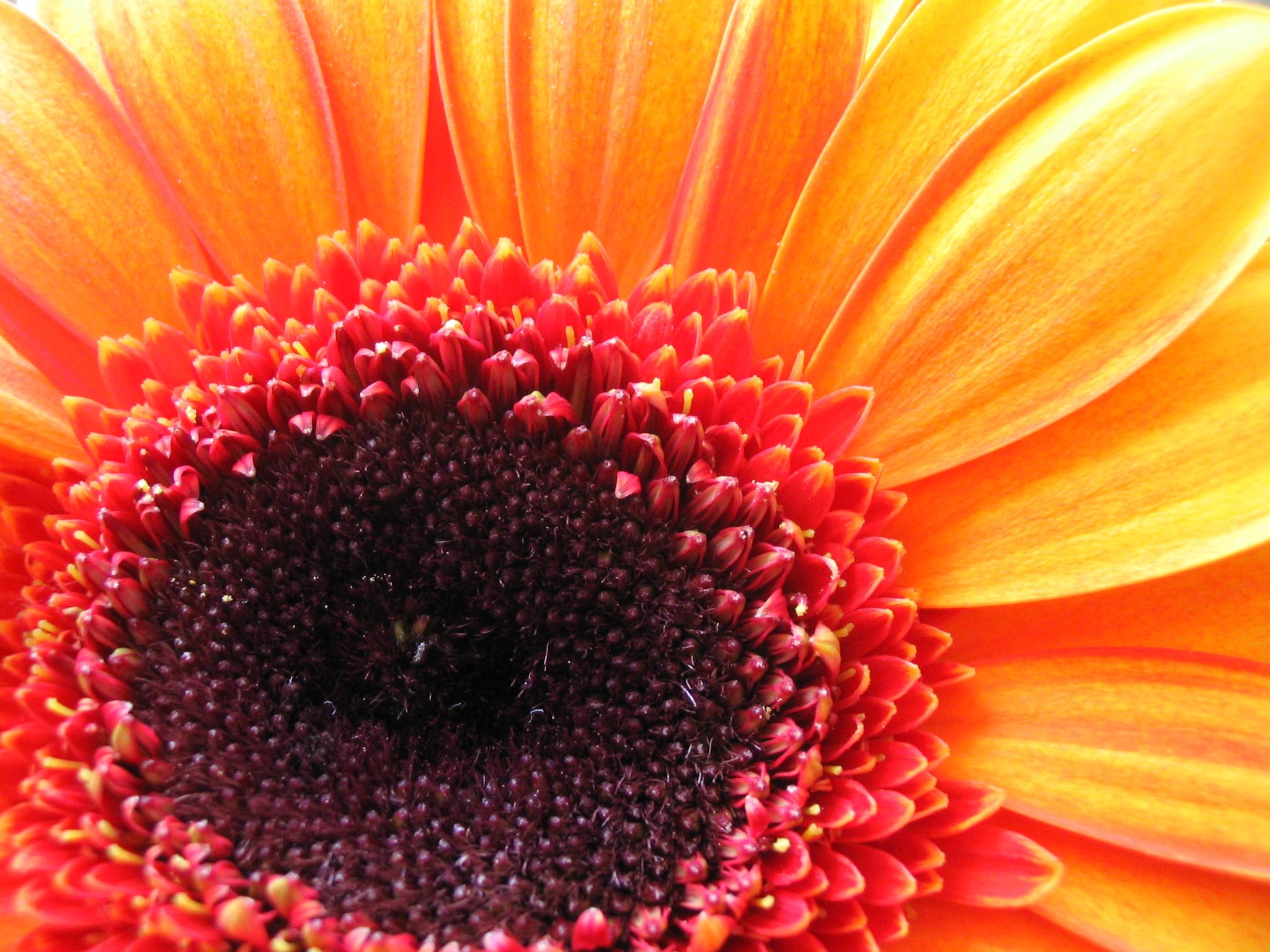 Free Photo Yellow Flower Gerbera Pink Red Free Download Jooinn