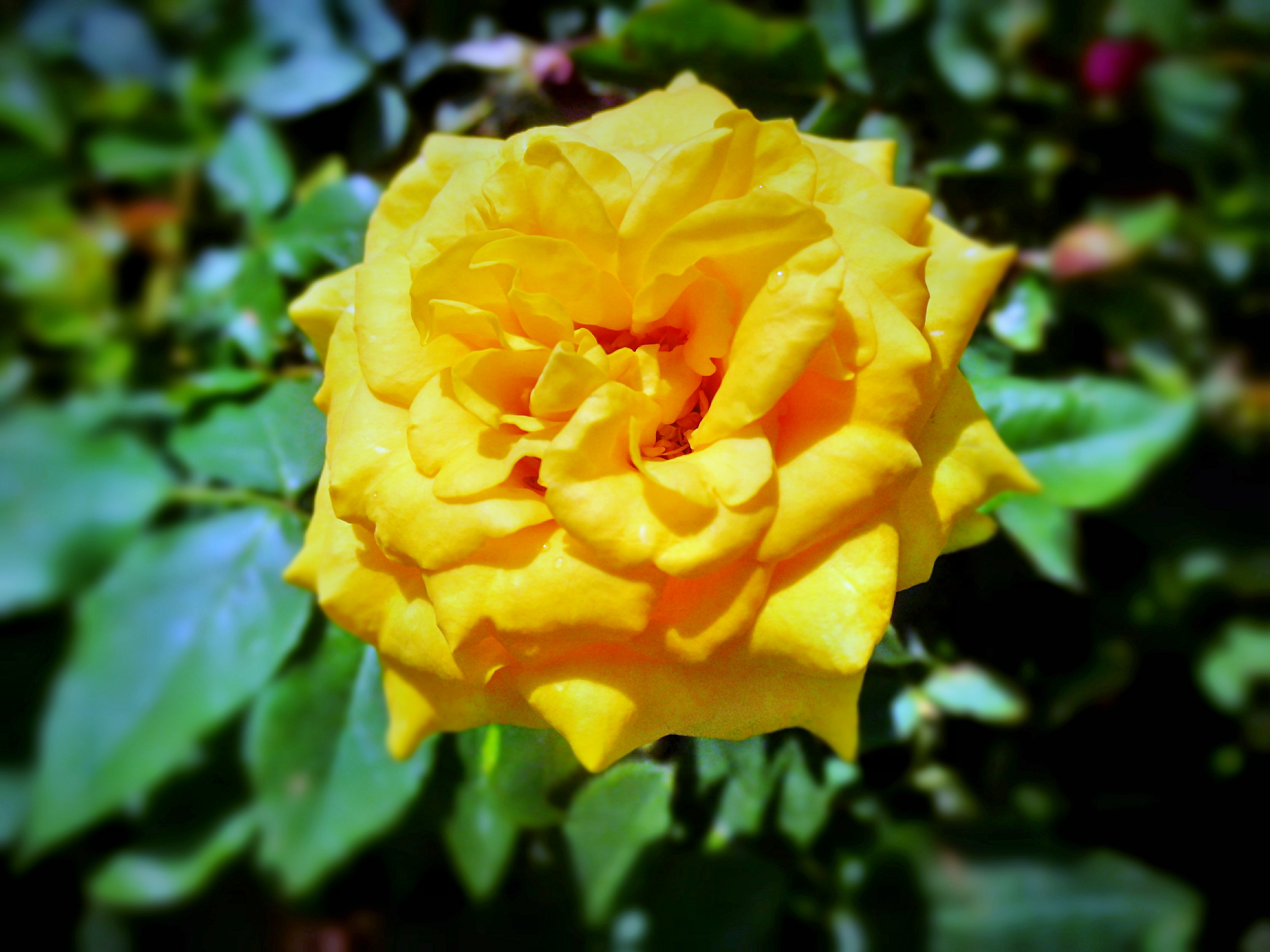 Free Photo Yellow Flower Romans Plants Rose Free Download