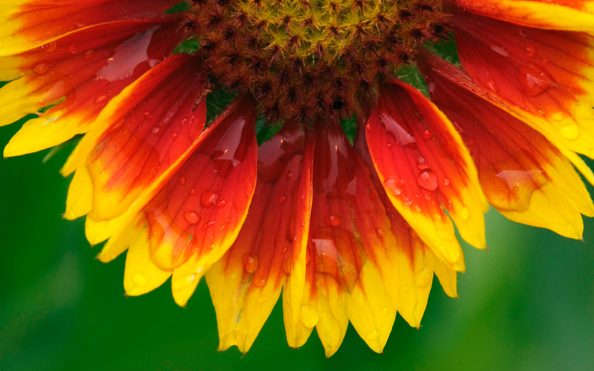 Red and yellow flower closeup :: Free High quality Flower wallpaper