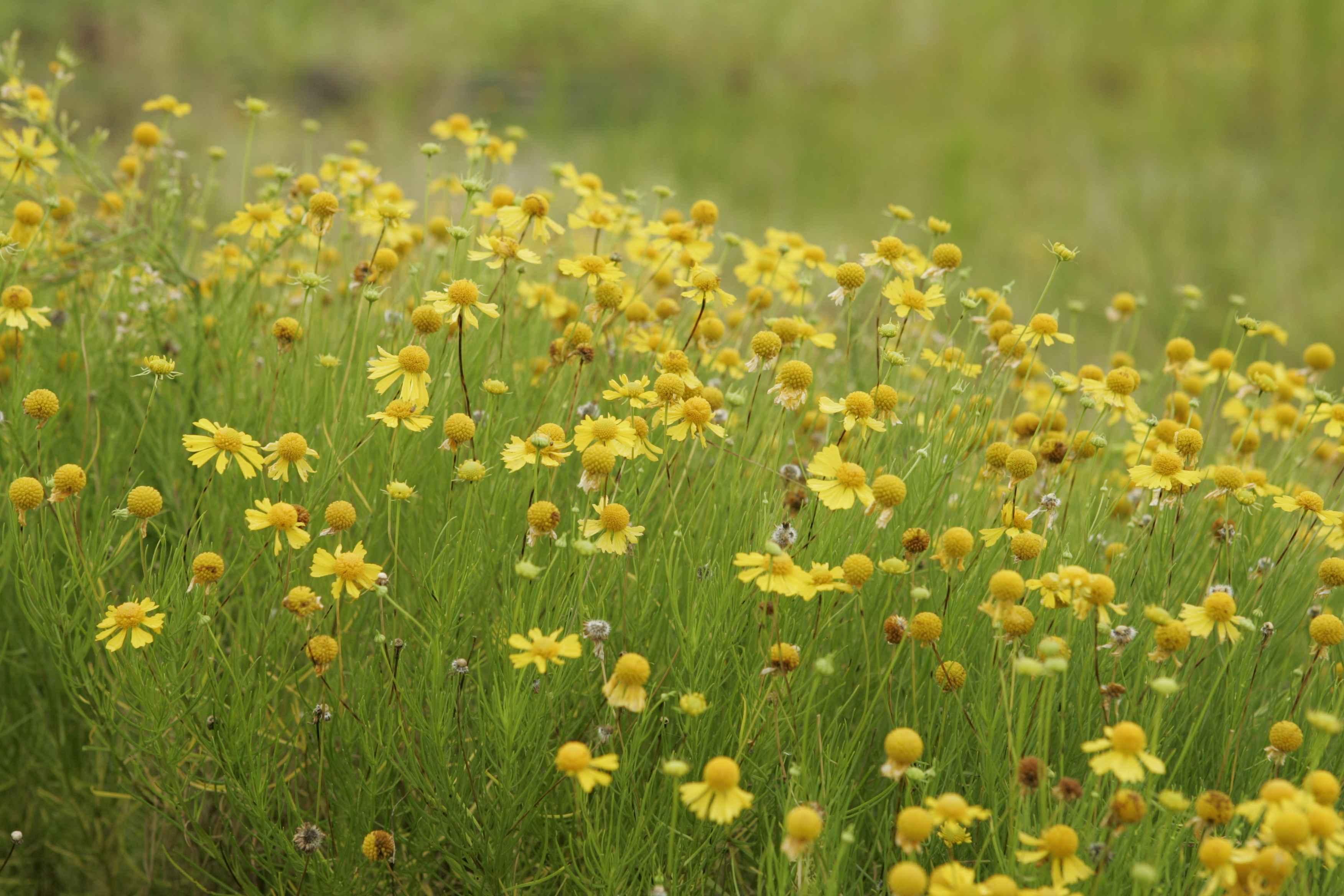Free Photo Yellow Flowers Vivid Yellow Summer Free Download