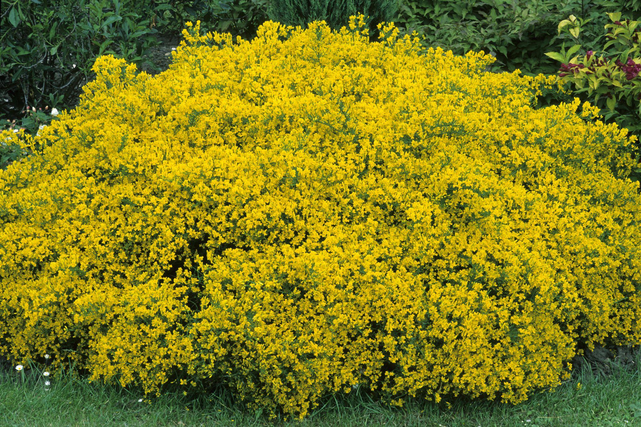 Free Photo Yellow Bush Bush Garden Plant Free Download Jooinn