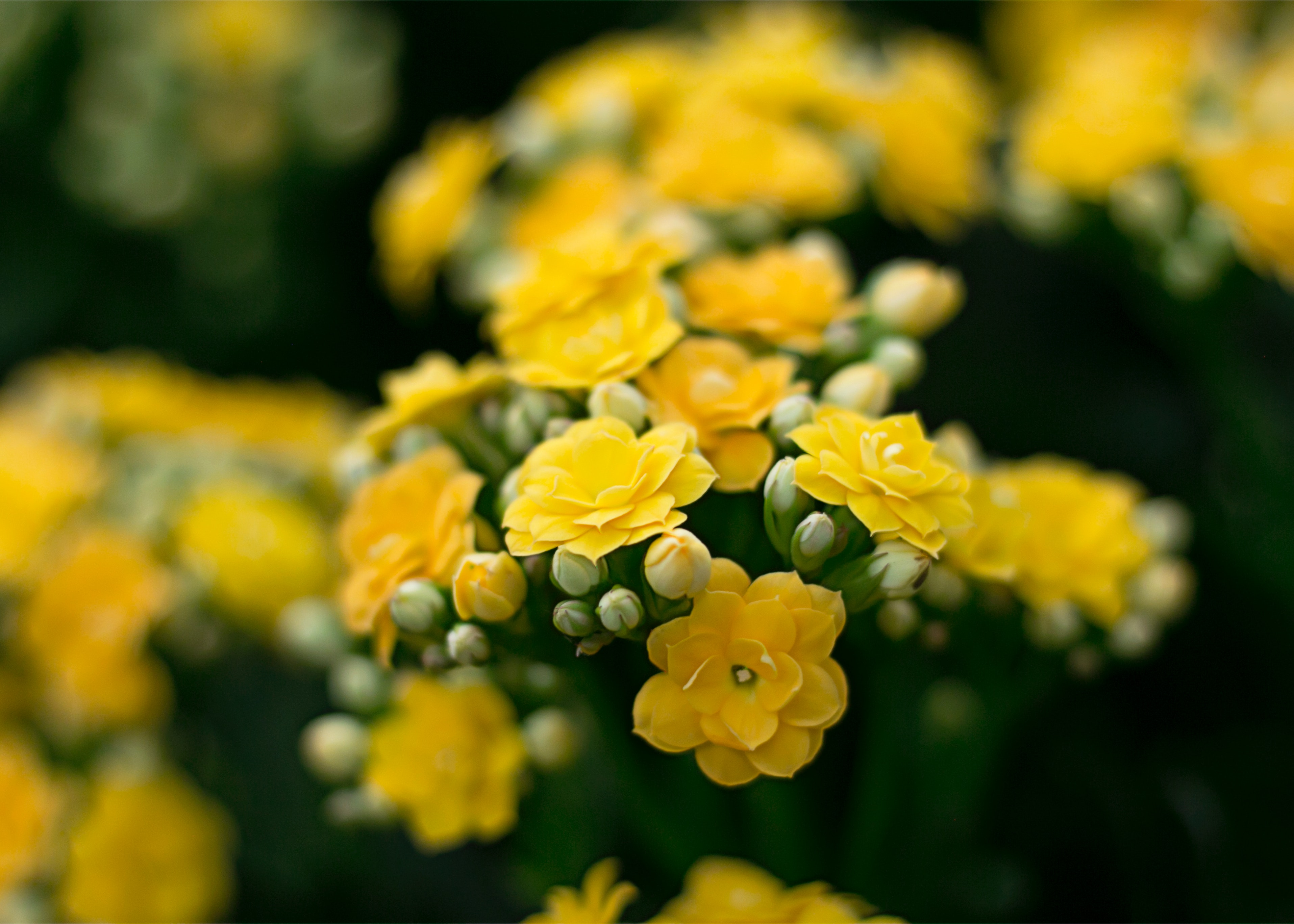 Free Photo Yellow Flowers Plant Romantic Spring Free Download
