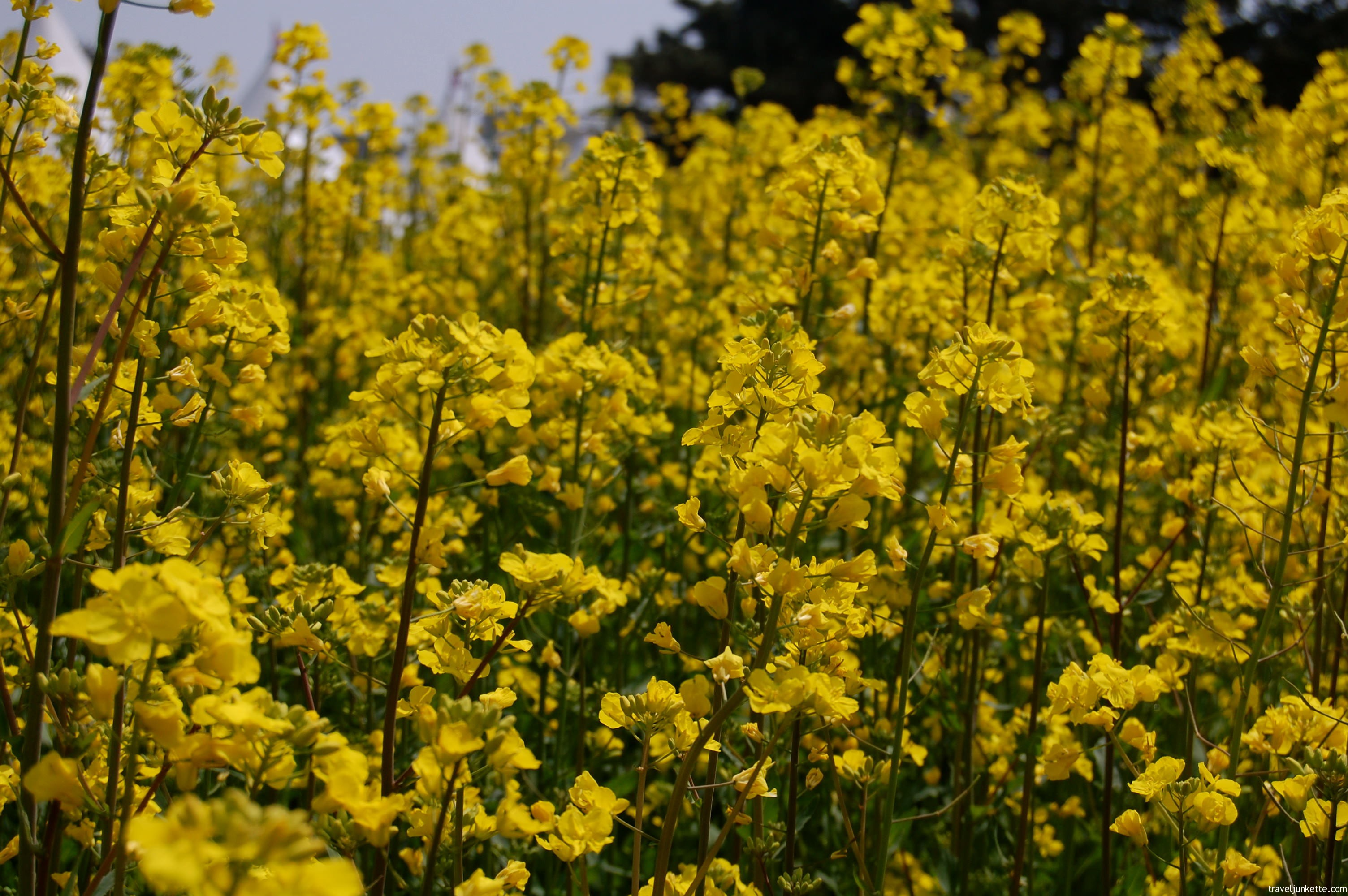 Free photo yellow flowers nature yellow garden free download yellow flowers mightylinksfo