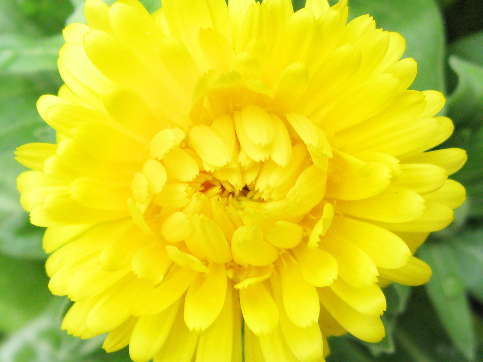 Yellow Flowers Images (24)