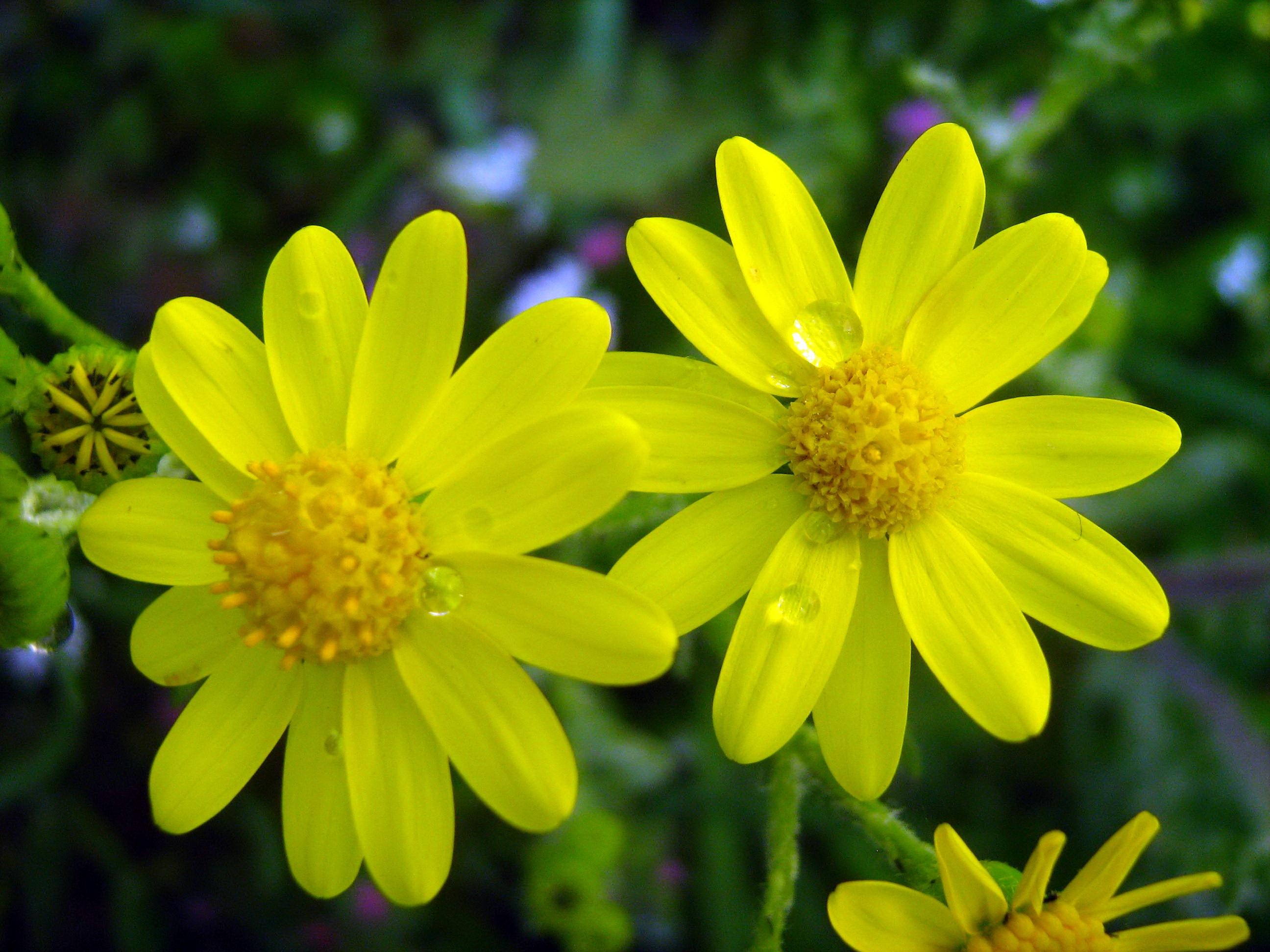 Free photo yellow flowers leaves wild yellow free download yellow flowers mightylinksfo