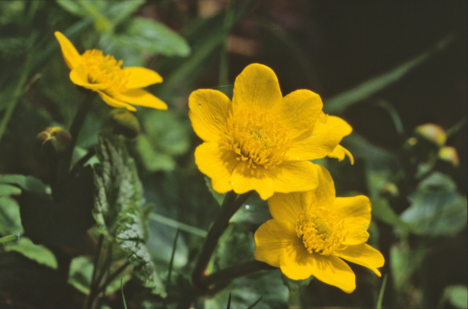 Free Photo Yellow Flowers Nature Plant Soft Free Download