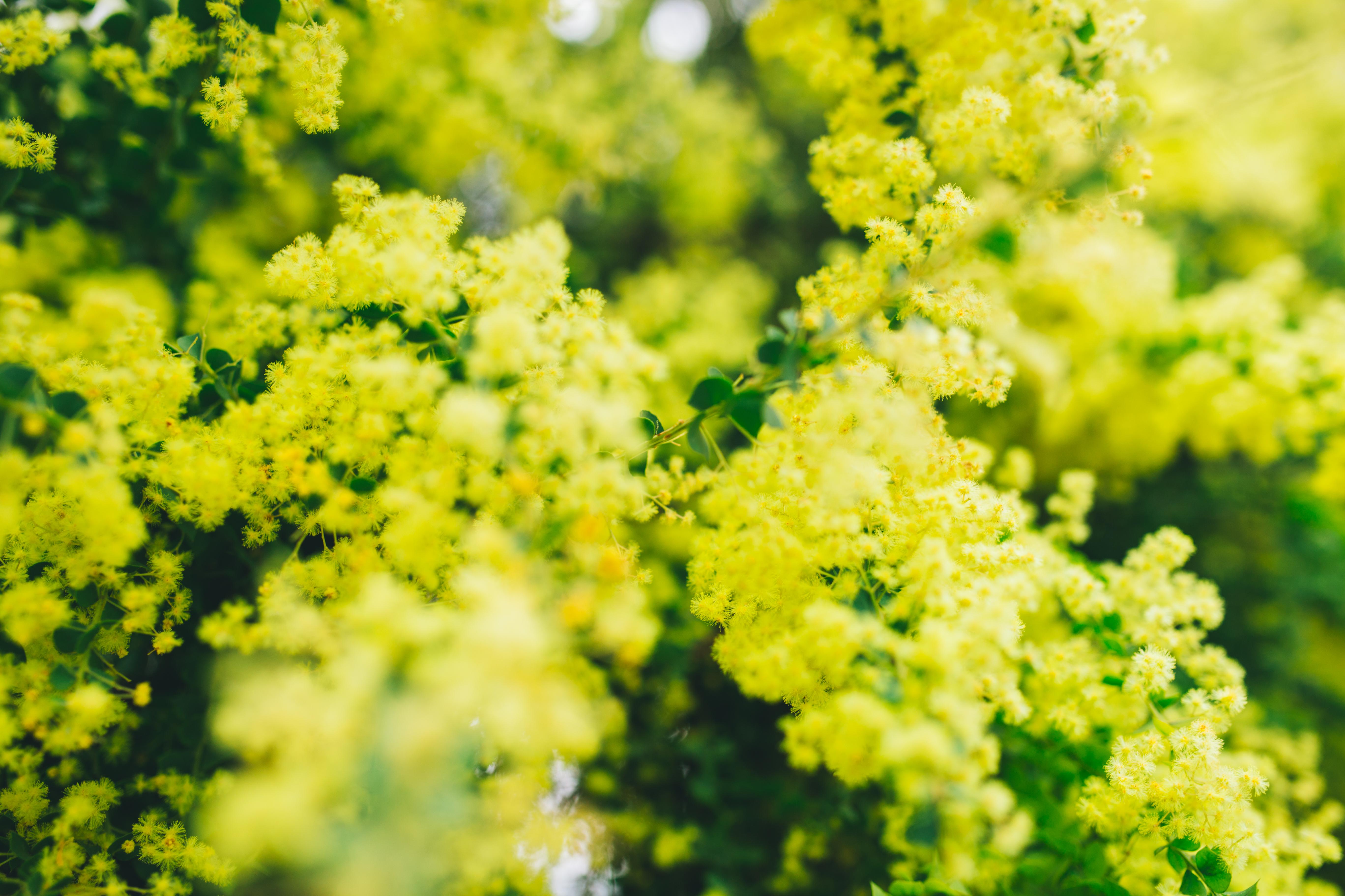 Free Photo Yellow Flowers Tree Yellow Plants Free Download