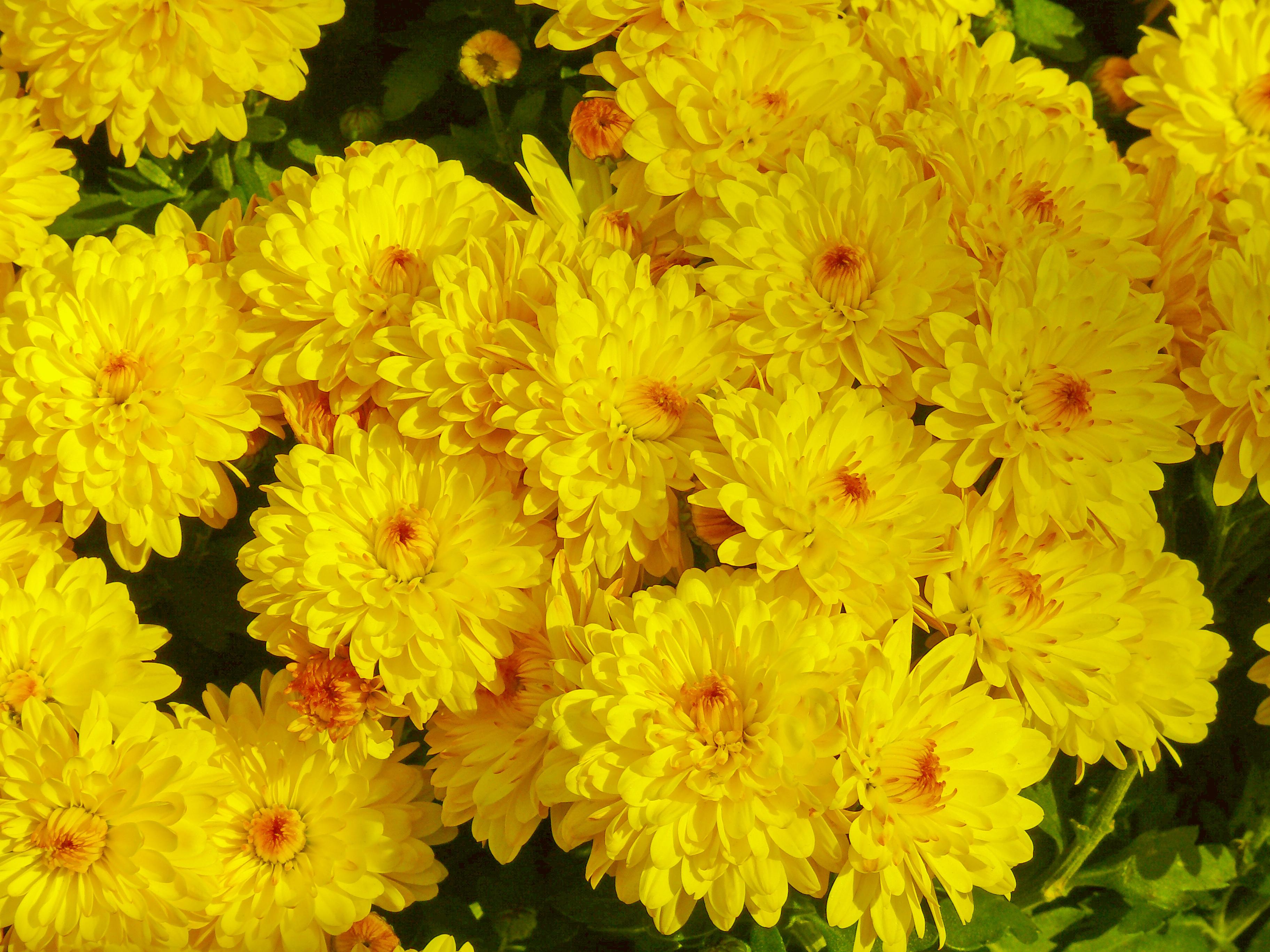 File:Yellow-Flowers.jpg - Wikimedia Commons