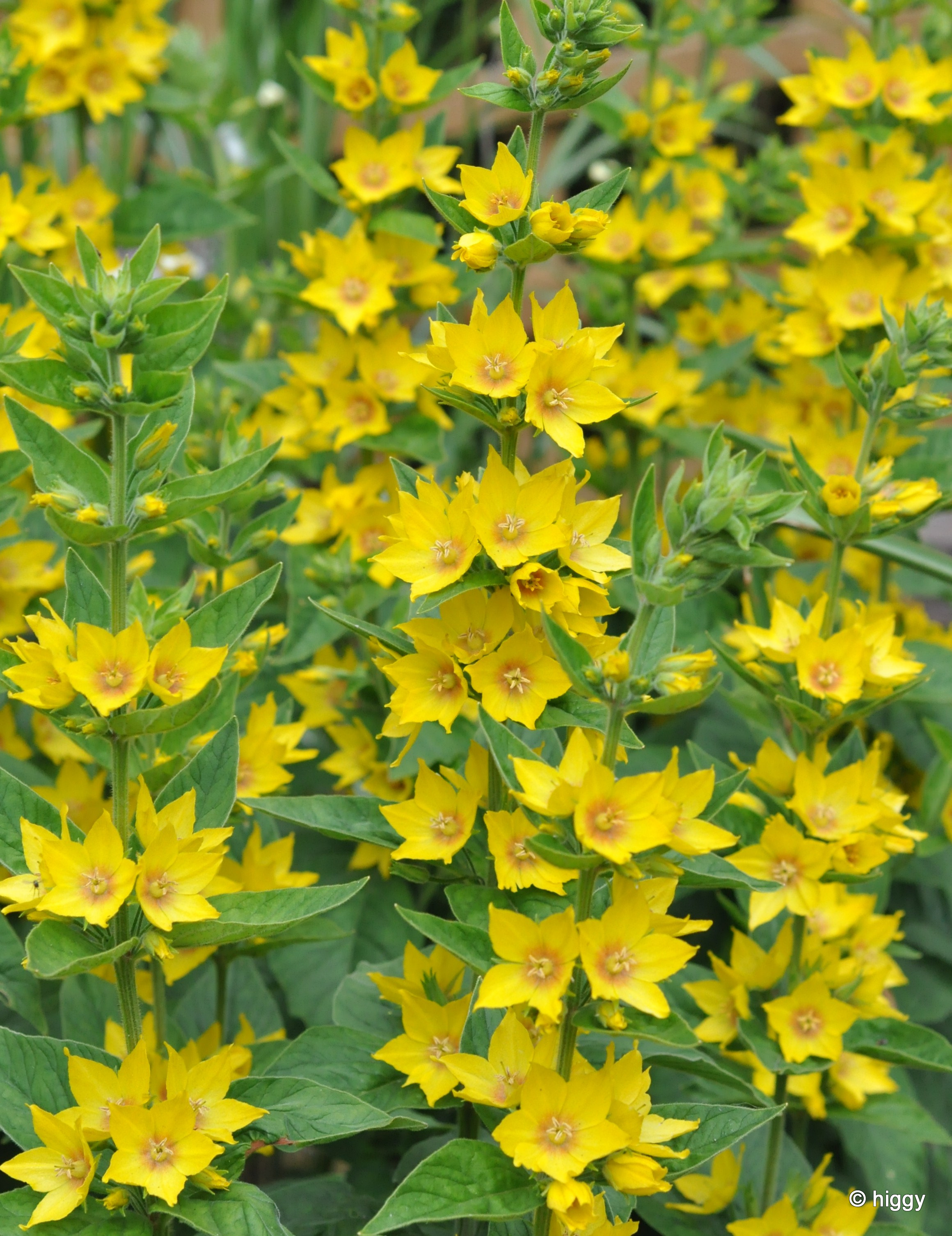 Free Photo Yellow Garden Flower Nature Natural Outdoors Free