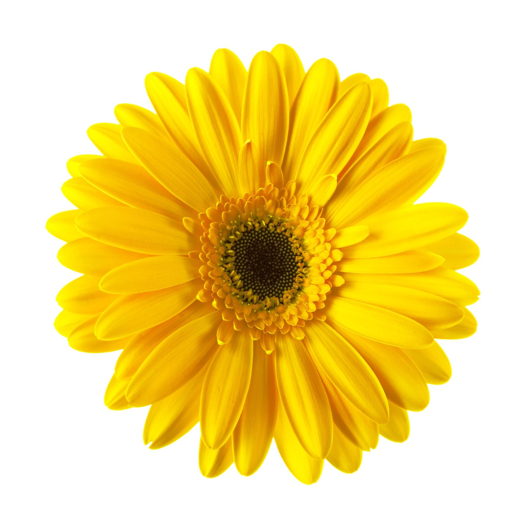 Yellow gerbera photo
