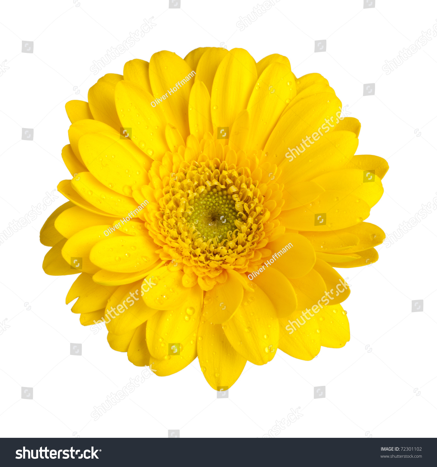 Yellow Gerbera Daisy Blossom Dew Drops Stock Photo 72301102 ...