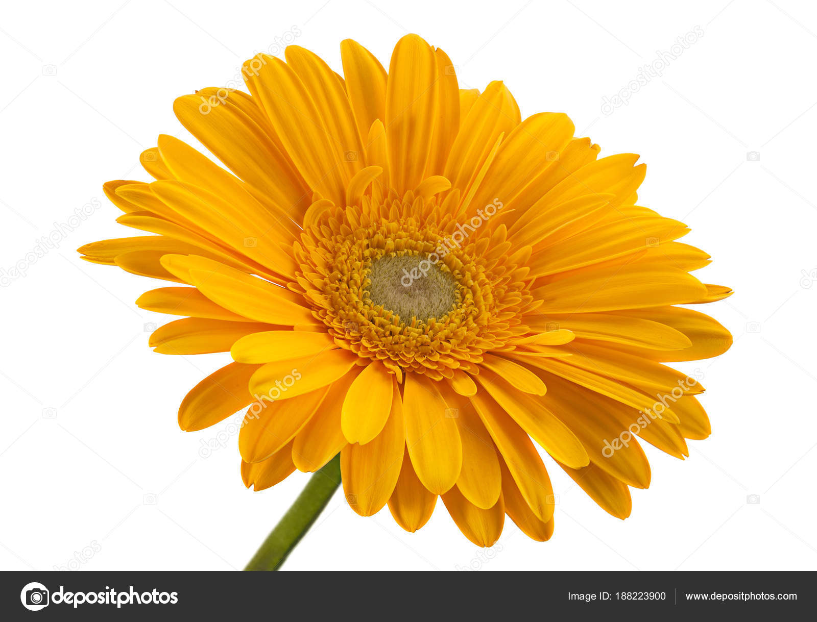 Yellow gerbera flower head — Stock Photo © jimbo3904 #188223900