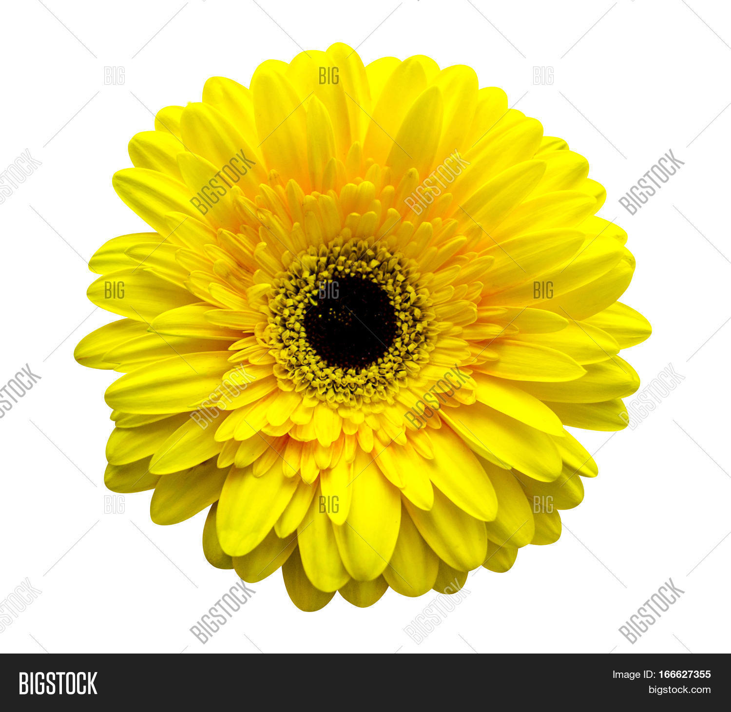 Gerbera Flowers. Yellow Gerbera. Image & Photo | Bigstock