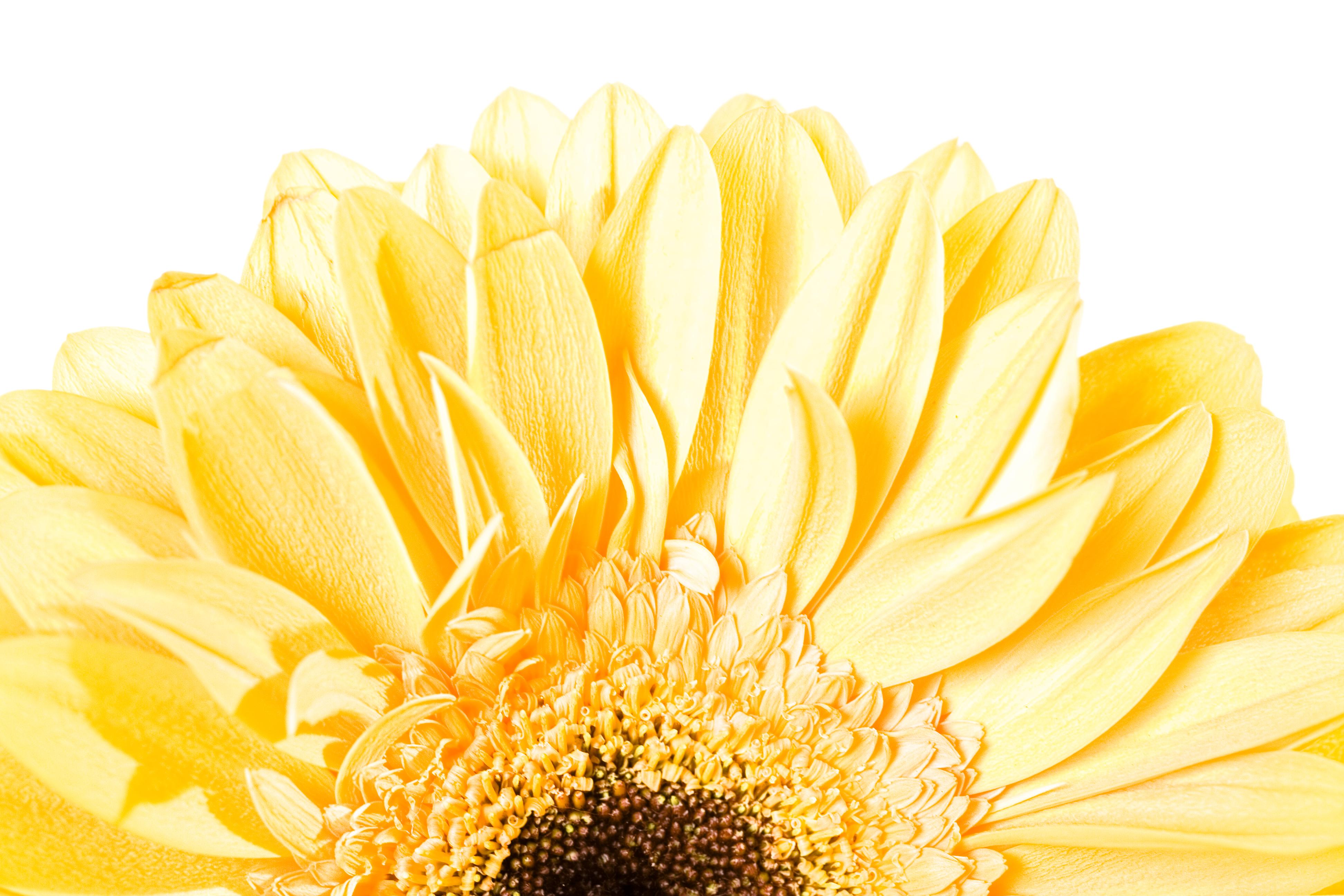 Yellow Gerbera, One, Head, Isolated, Macro, HQ Photo