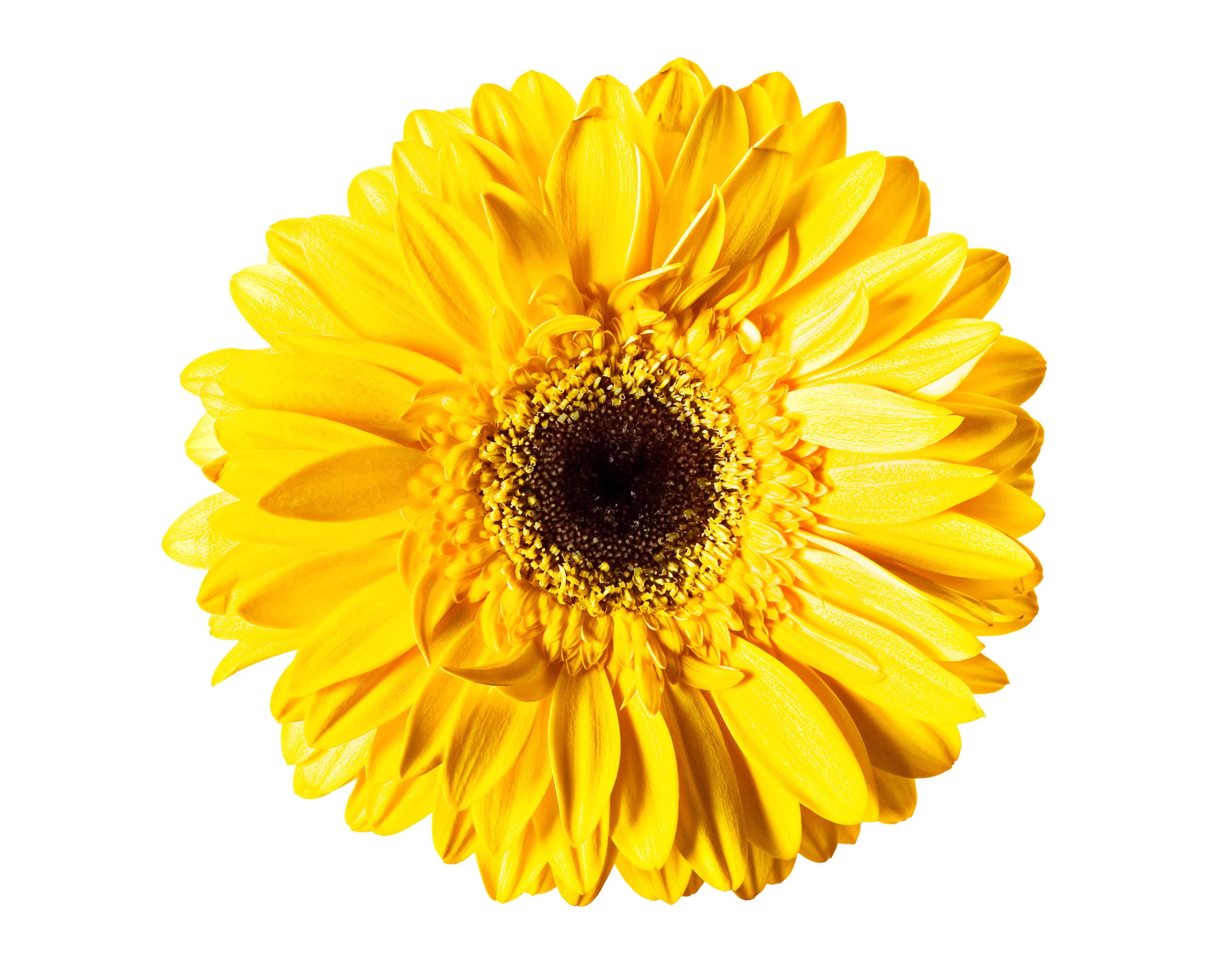Yellow Gerbera, One, Head, Isolated, Macro, HQ Photo