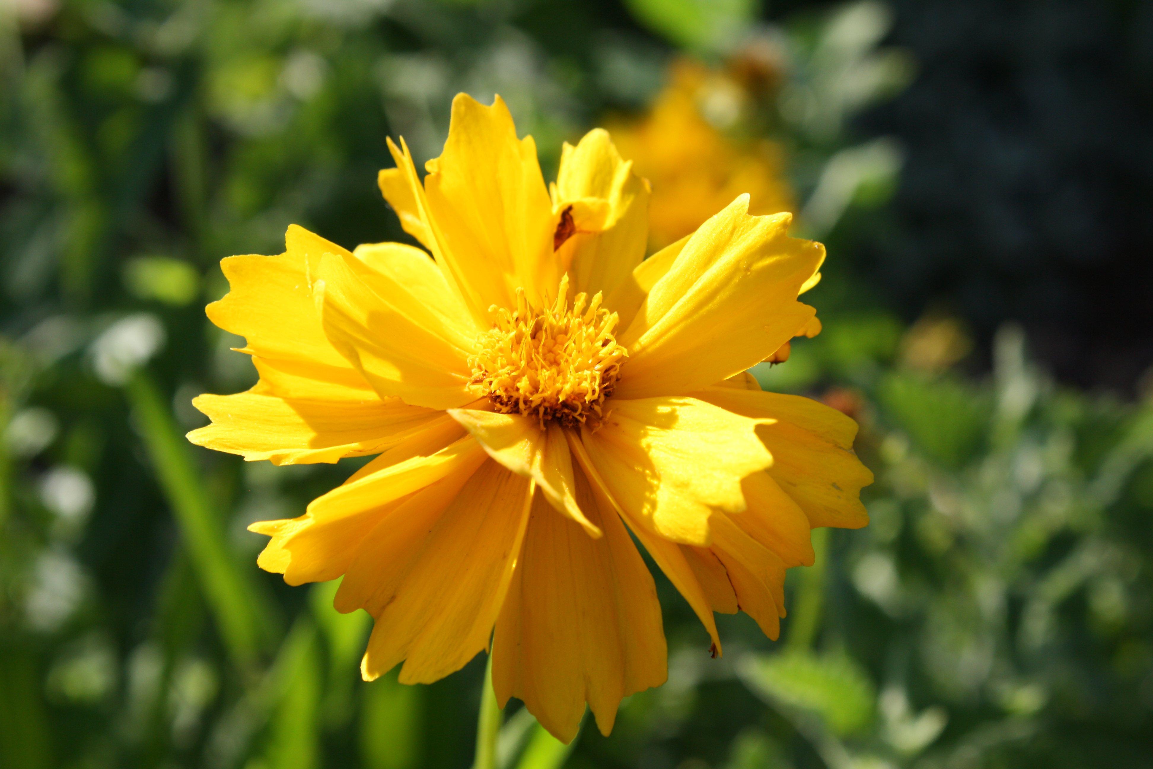 Free photo yellow golden flowers plants yellow green free yellow golden flowers mightylinksfo