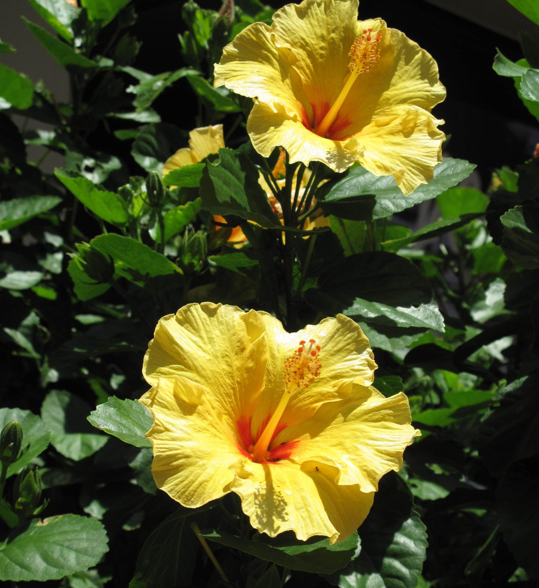 Free Photo Yellow Hibiscus Flower Summer Yellow Hibiscus Free