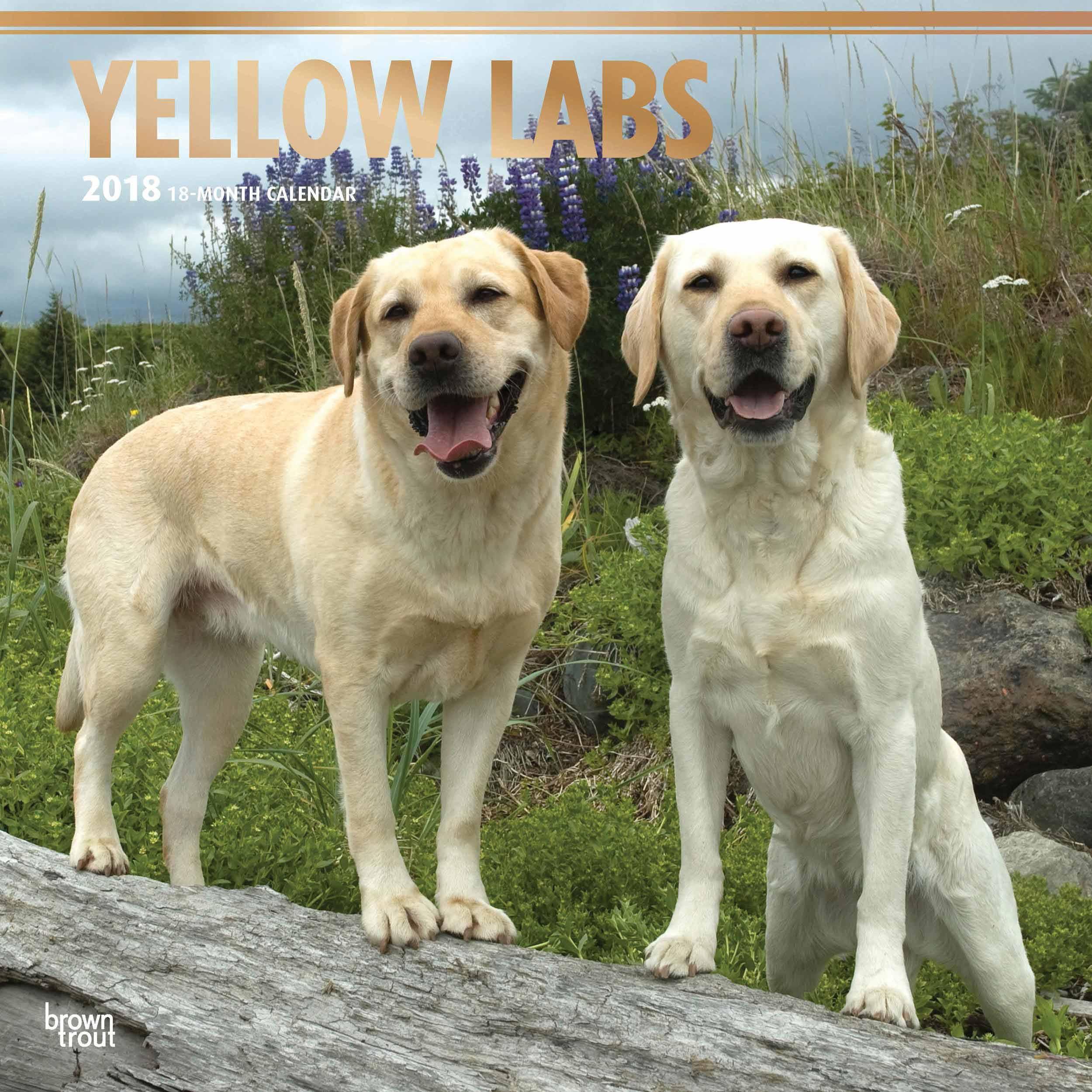 Yellow Labrador Retrievers Calendar 2018 - Calendar Club UK