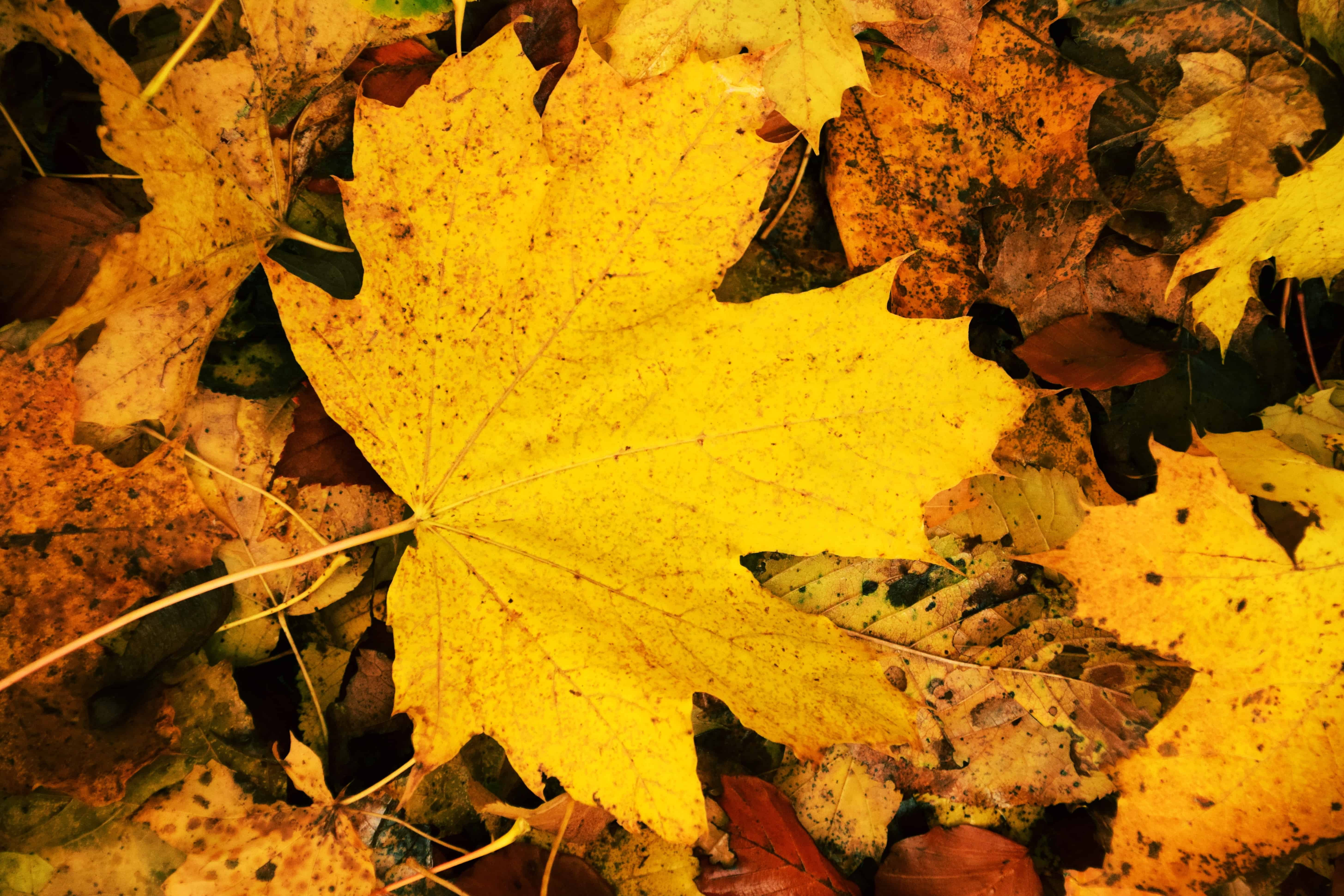 Free picture: wood, flora, ground, yellow leaf, nature, autumn, foliage