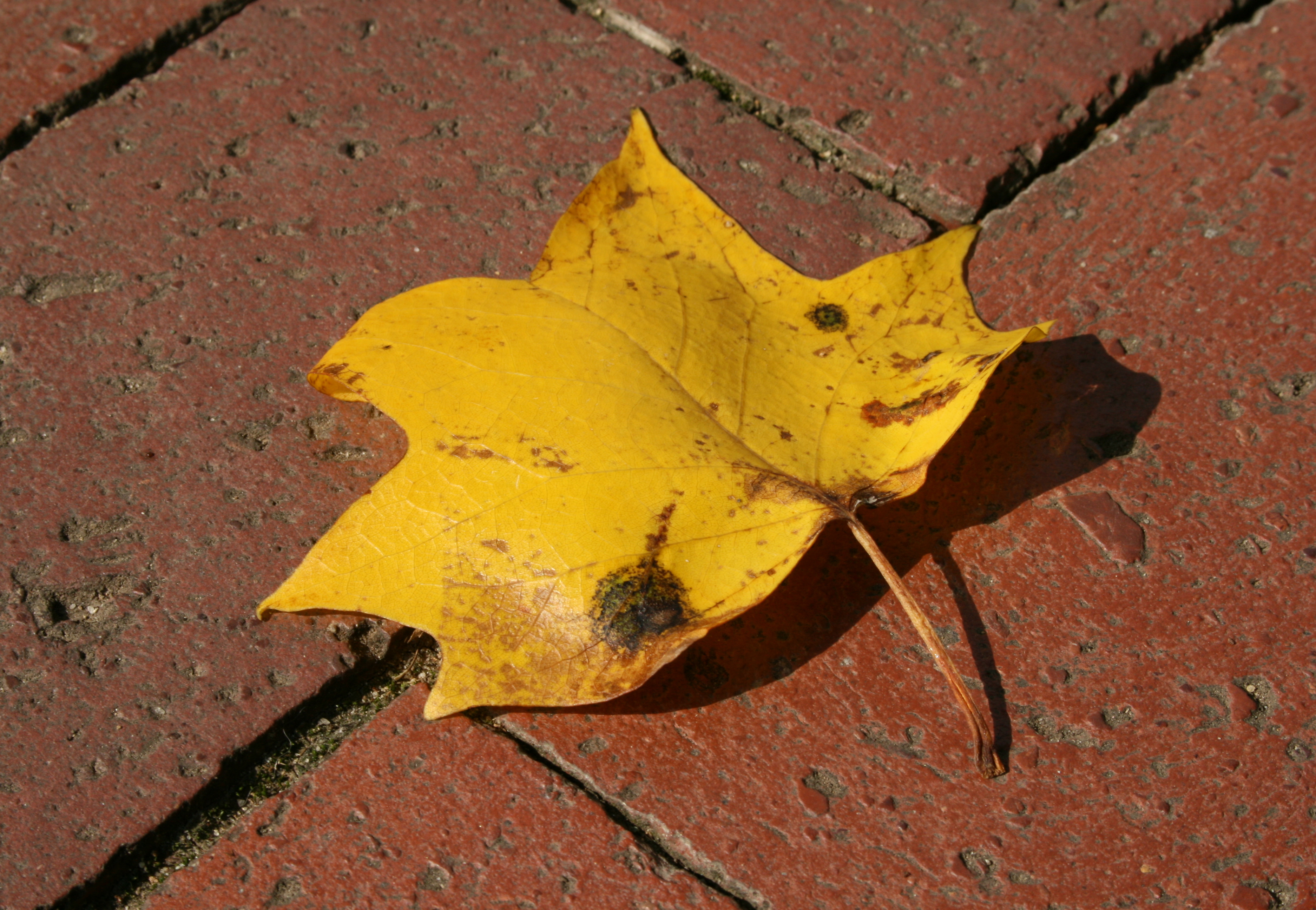 File:2008-07-11 Yellow leaf of Liriodendron tulipifera.jpg ...