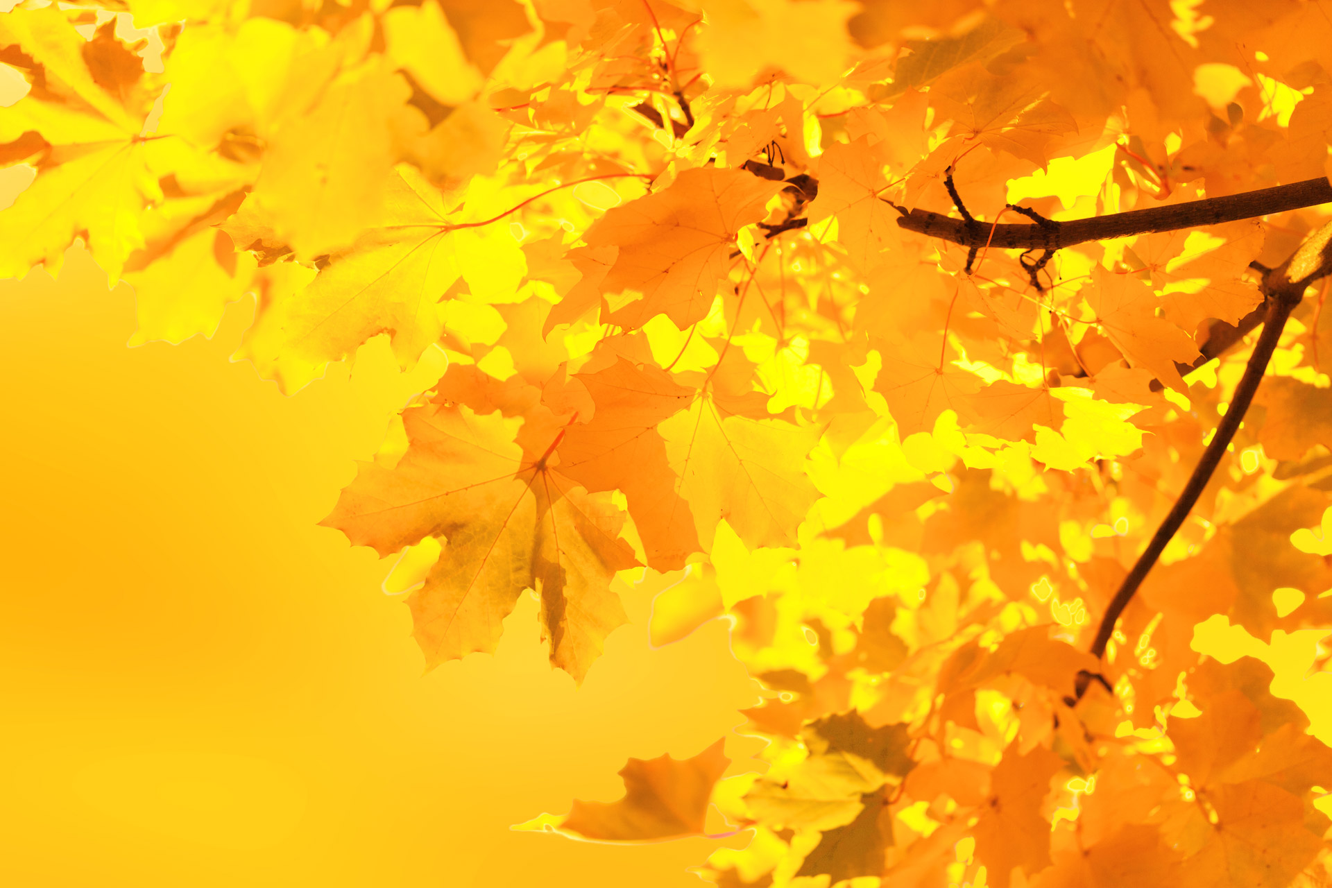 Yellow Maple Leaves Free Stock Photo - Public Domain Pictures