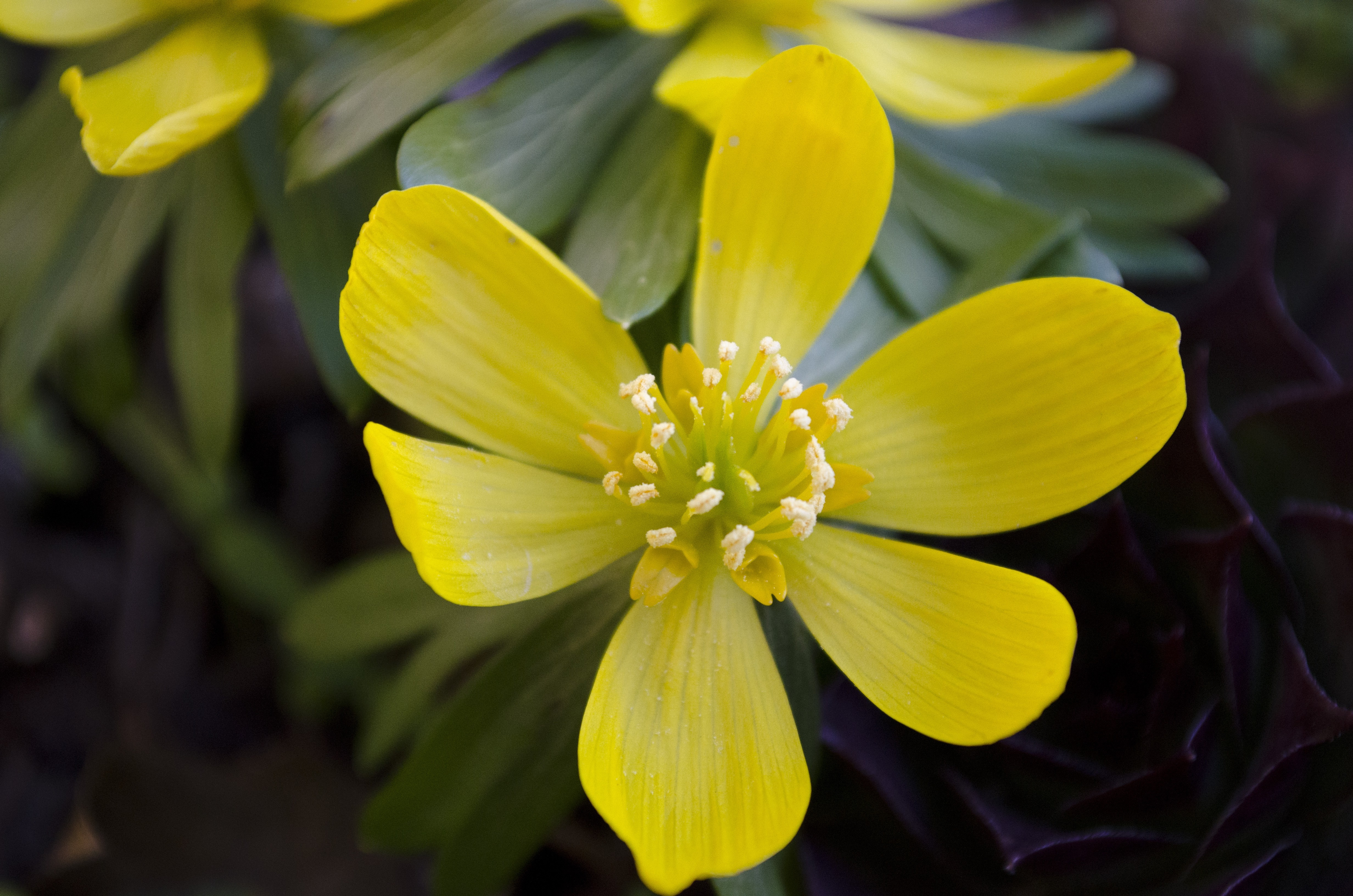 Free photo yellow macro flower outdoors park spring free yellow macro flower mightylinksfo