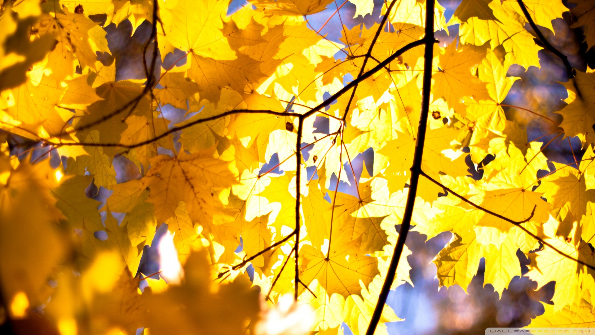 Download Yellow Maple Leaves 2 Wallpaper 1920x1080 | Wallpoper #450634