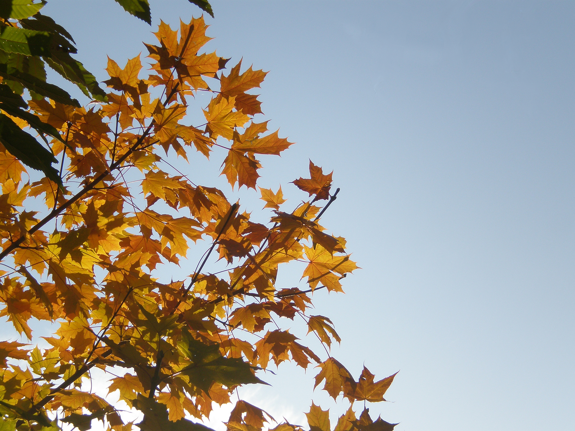 Yellow maple leaves, Autumn, Fall, Leaf, Leaves, HQ Photo