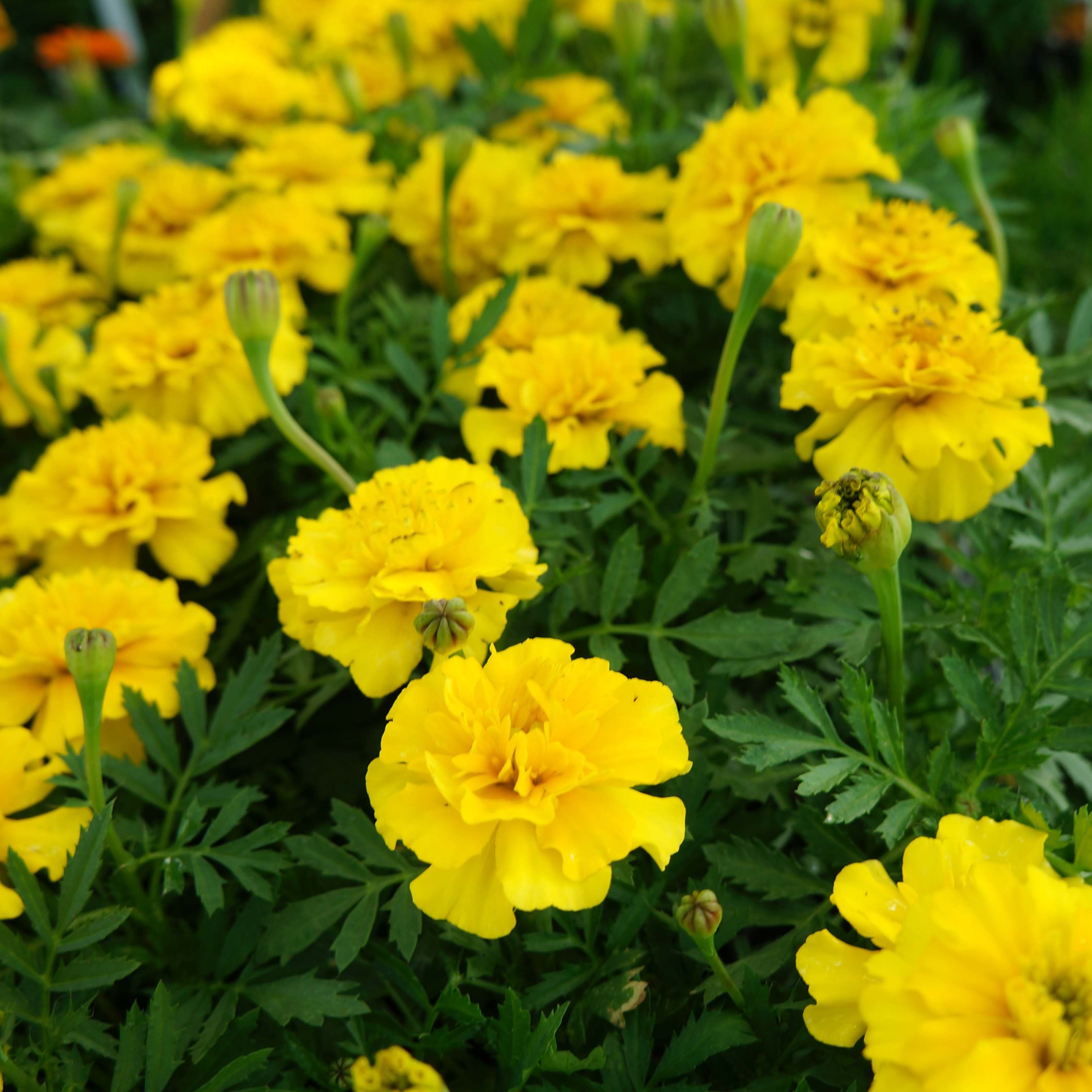 Free photo yellow marigold flower marigold plant tagetes free yellow marigold flower mightylinksfo
