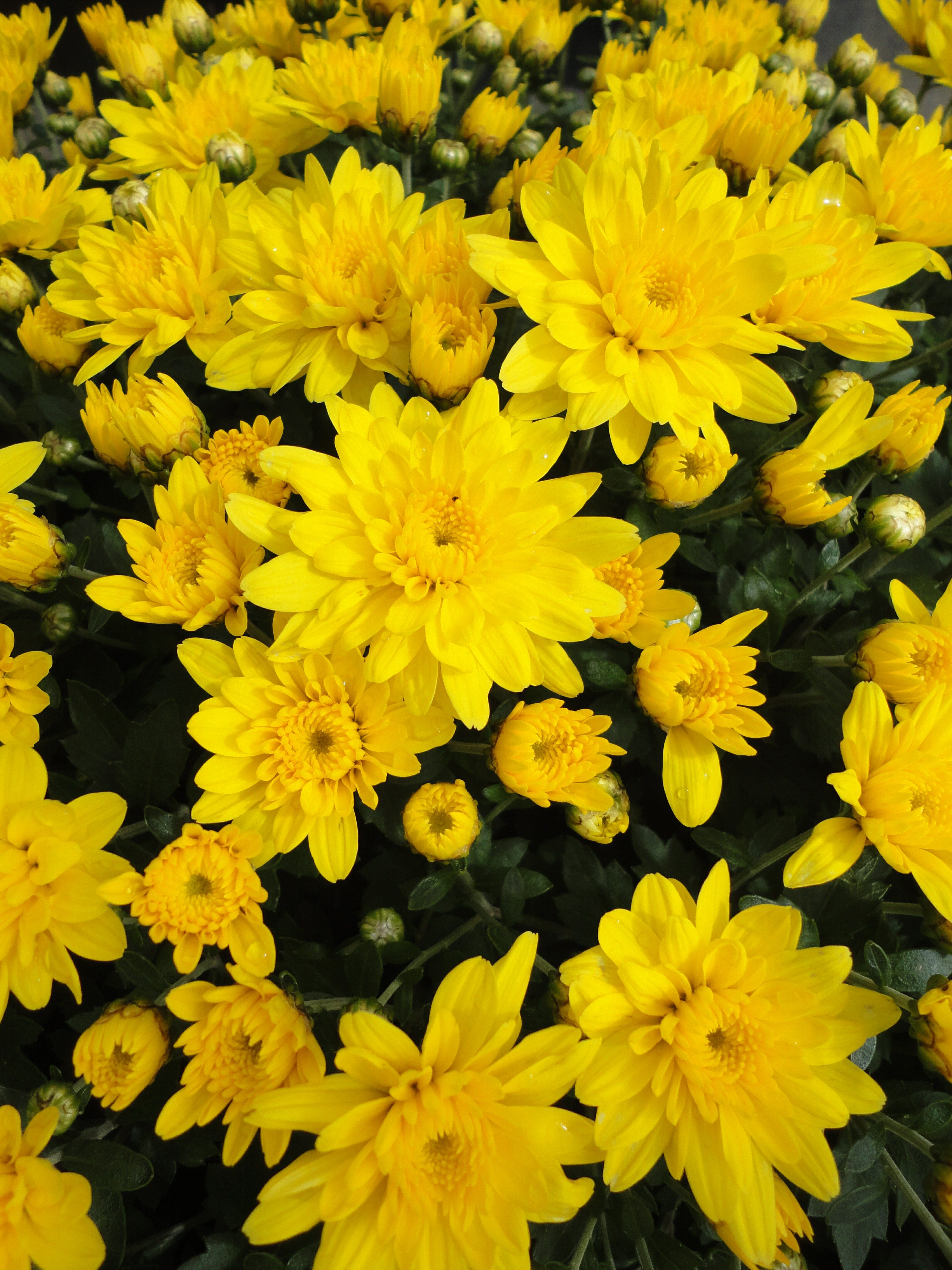 Free Photo Yellow Mums Marigold Mum Nature Non Commercial