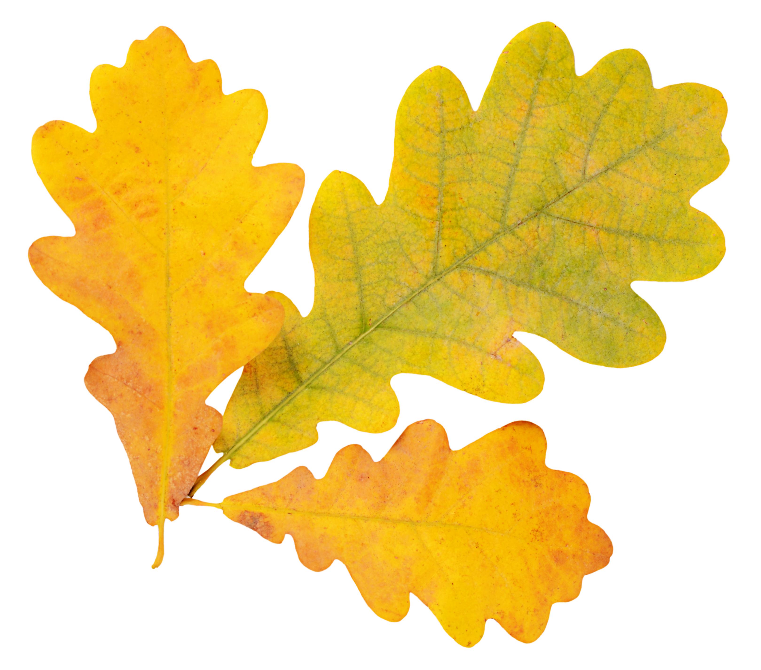 Autumn Oak Leaves Isolated On White - Baa Baa BrooklynBaa Baa Brooklyn