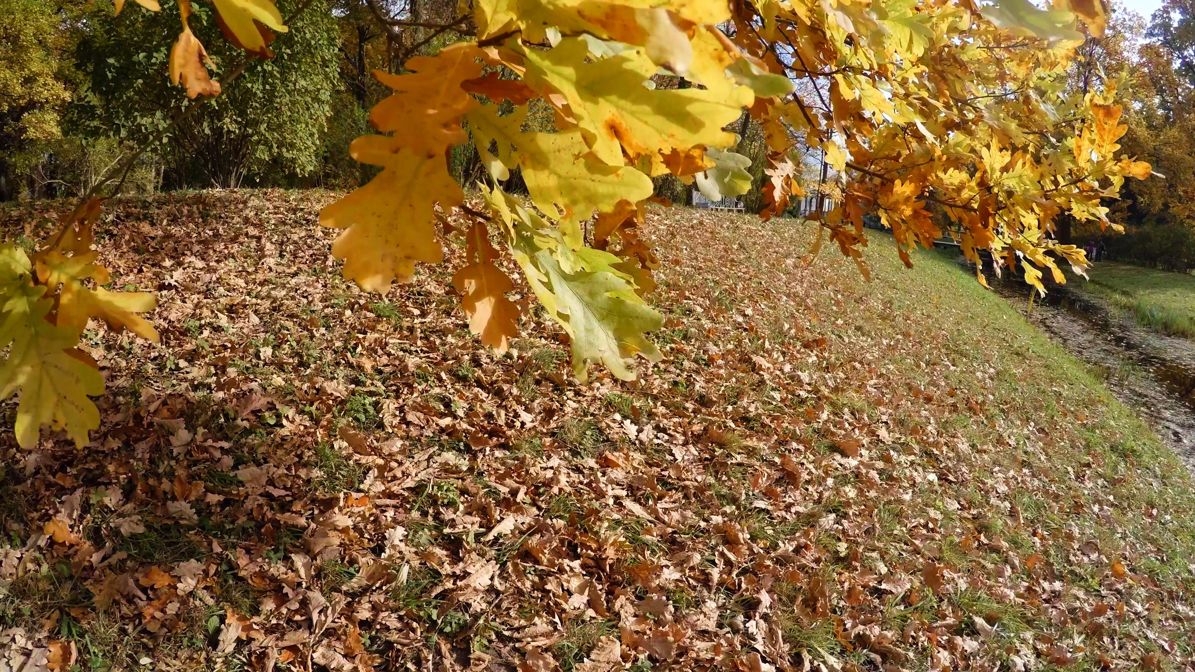 Yellow oak leaves. 4K. Stock Video Footage - VideoBlocks