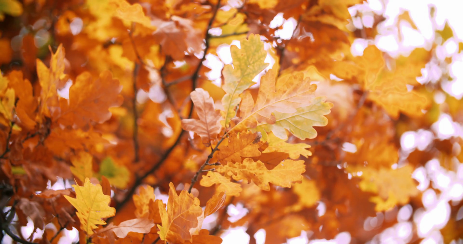 Oak tree in autumn with yellow orange leaves Stock Video Footage ...