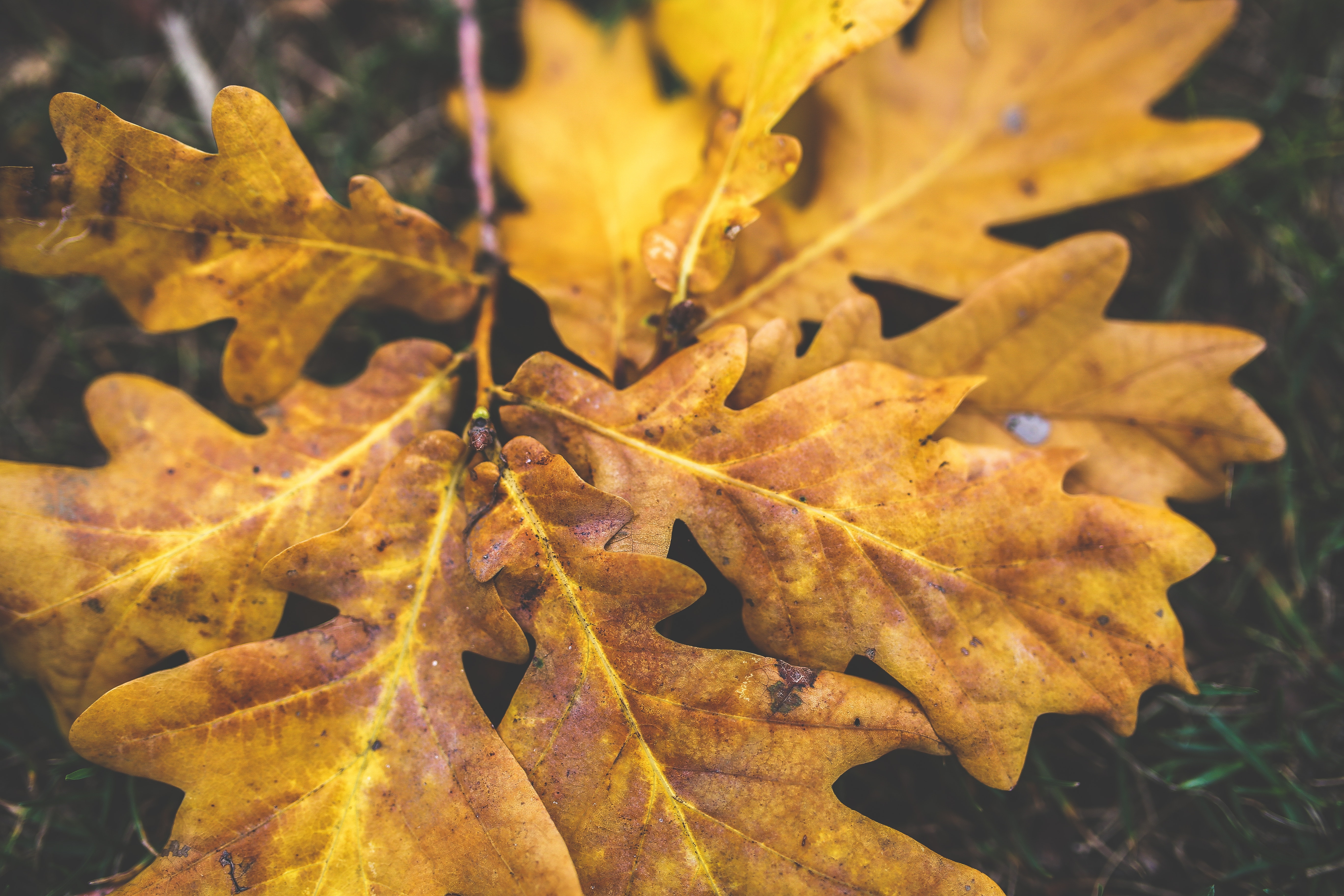 Yellow oak leaves, Autumn, Maple, Wood, Vibrant, HQ Photo