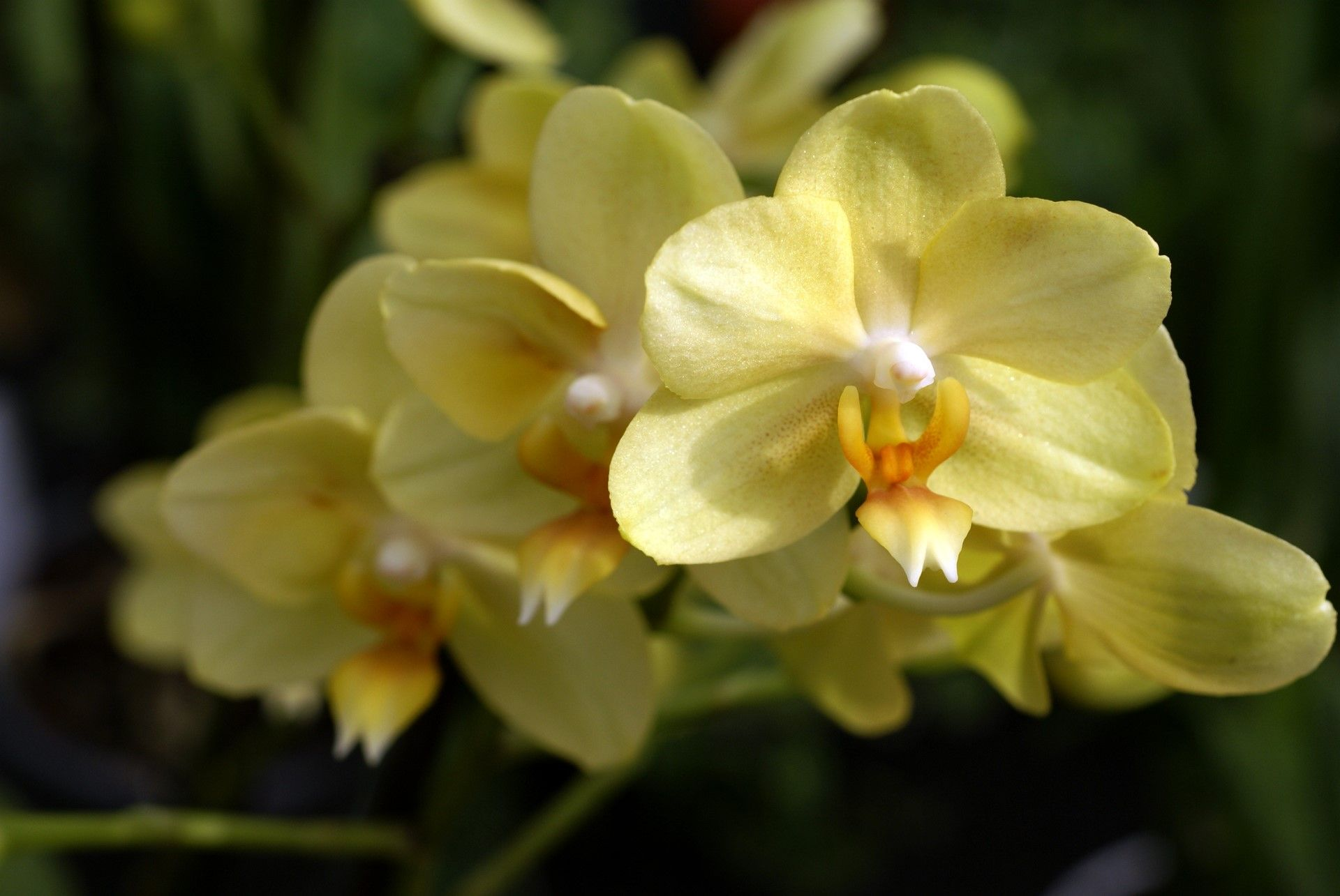 Free photo yellow orchid flower yellow orchid blossom free yellow orchid flower mightylinksfo