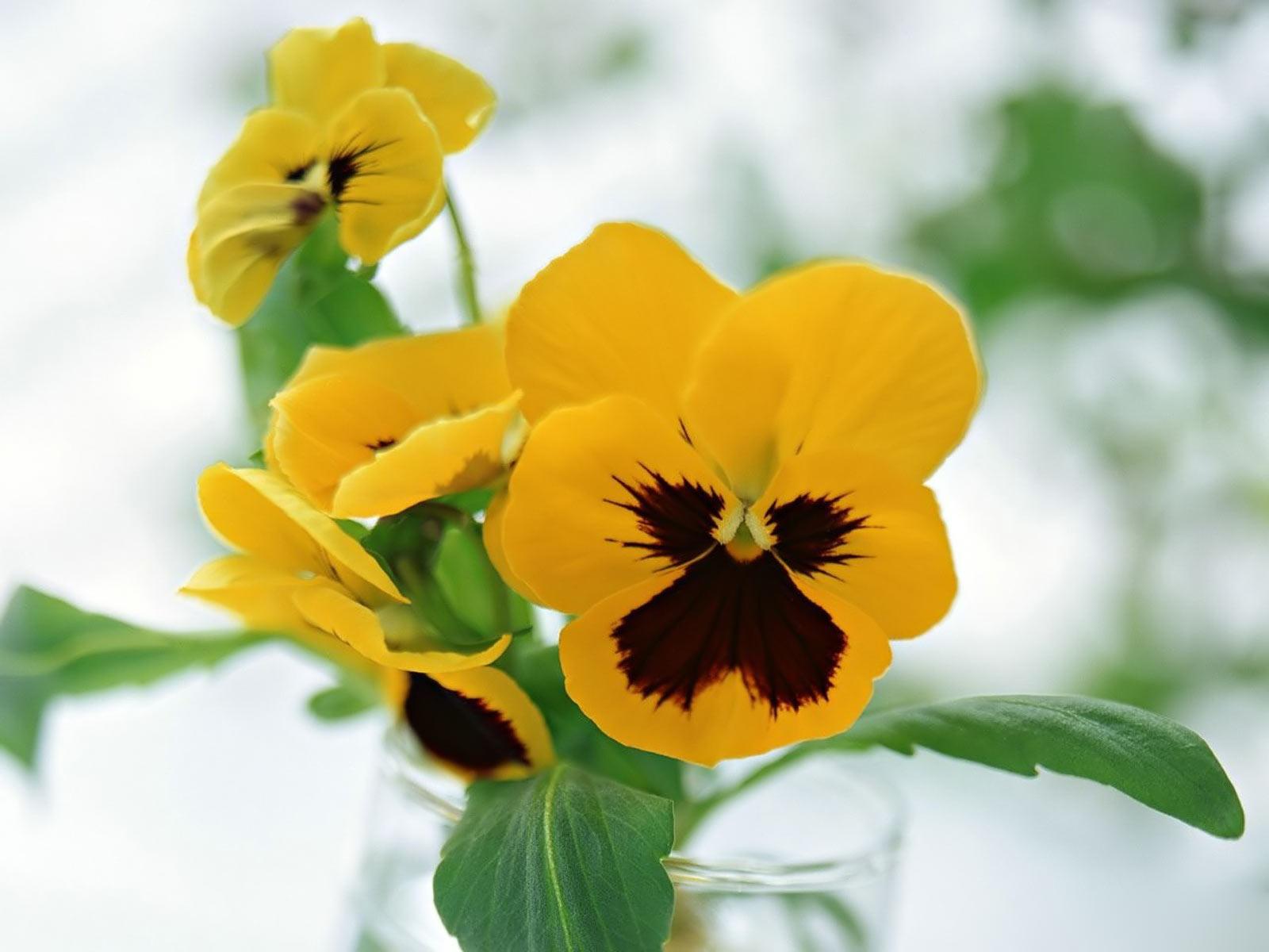 Free Photo Yellow Pansies Spring Plant Orange Free Download