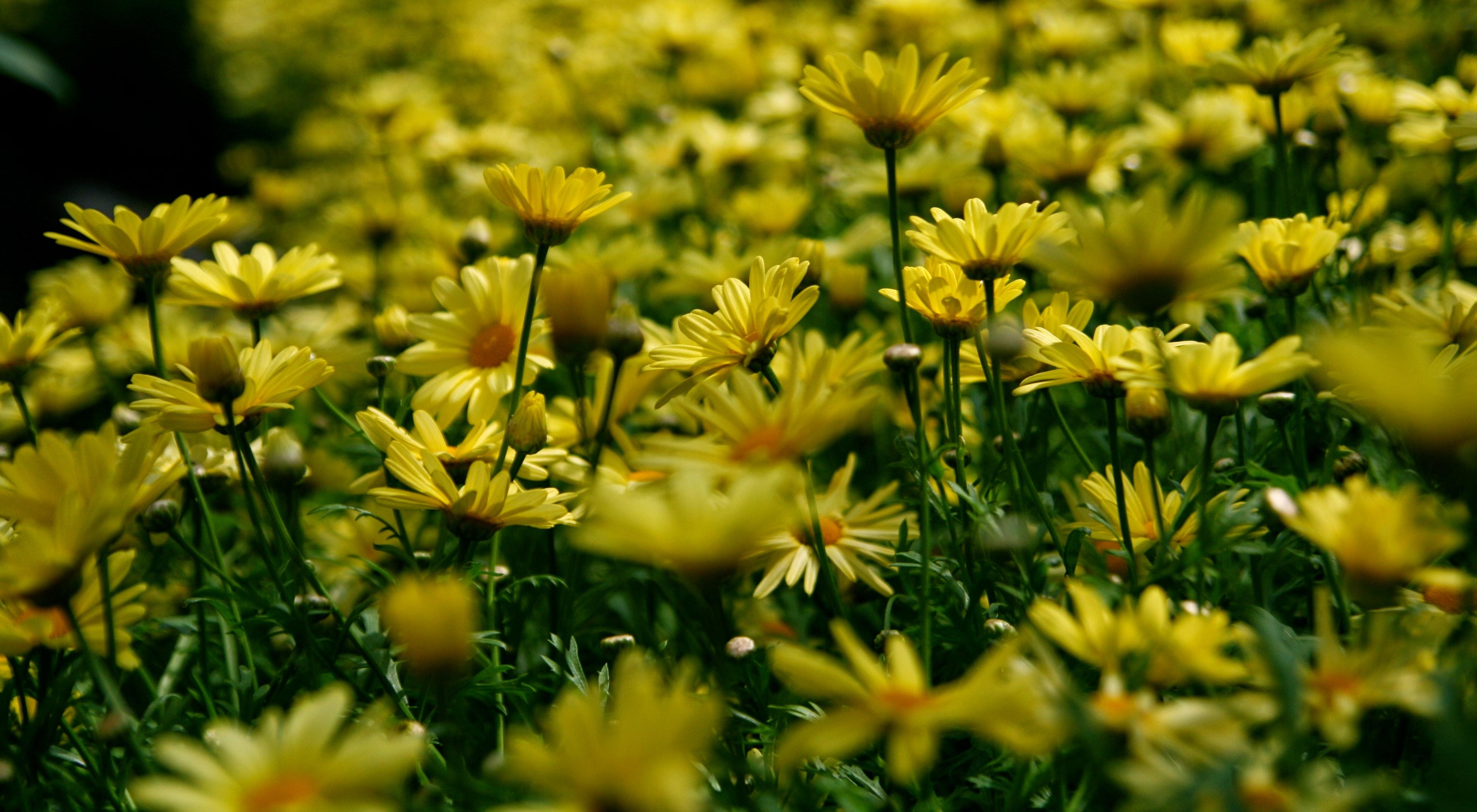 Yellow petal flower field photo