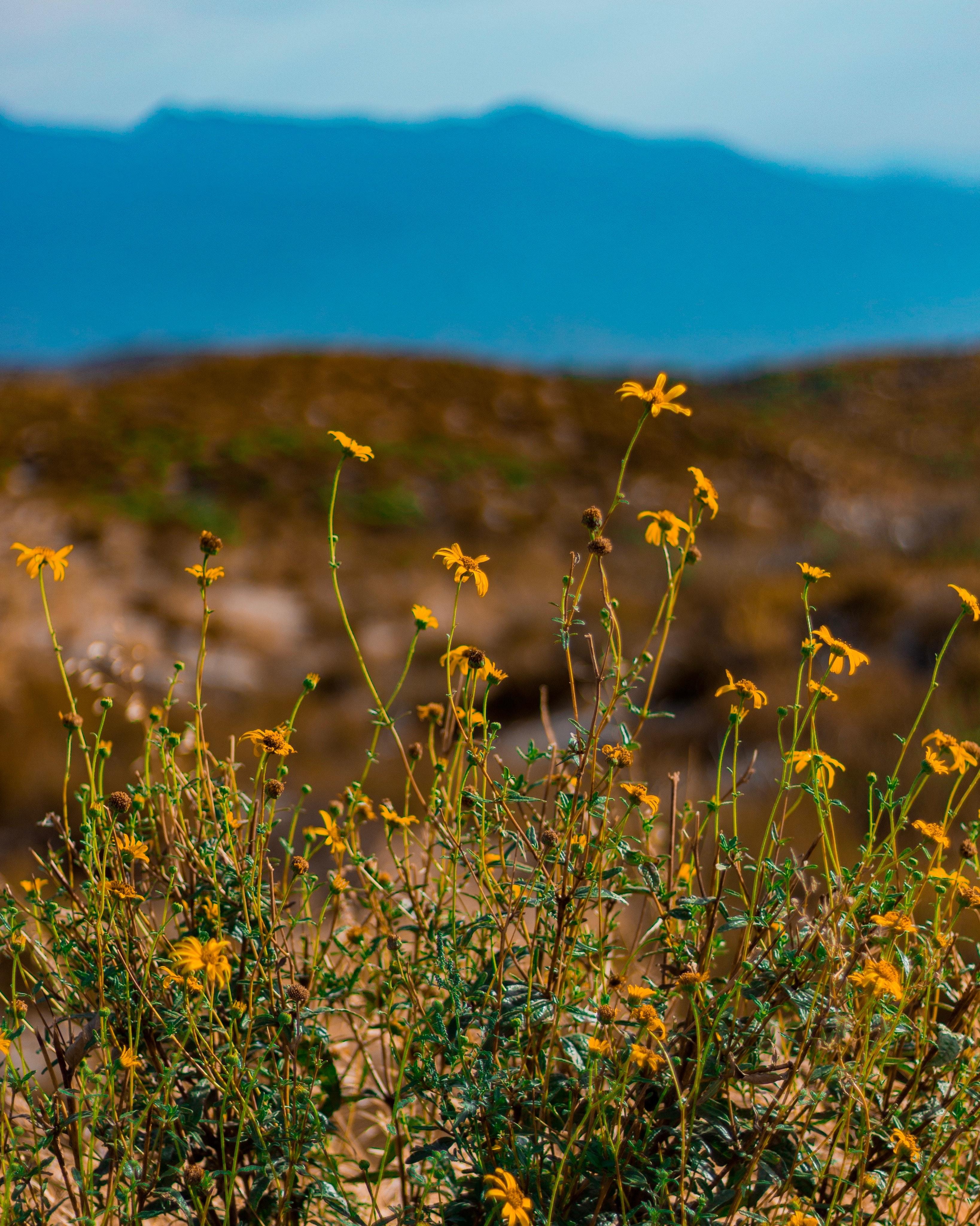 Yellow Petaled Flowers, Beautiful, Meadow, Wild, Sunset, HQ Photo