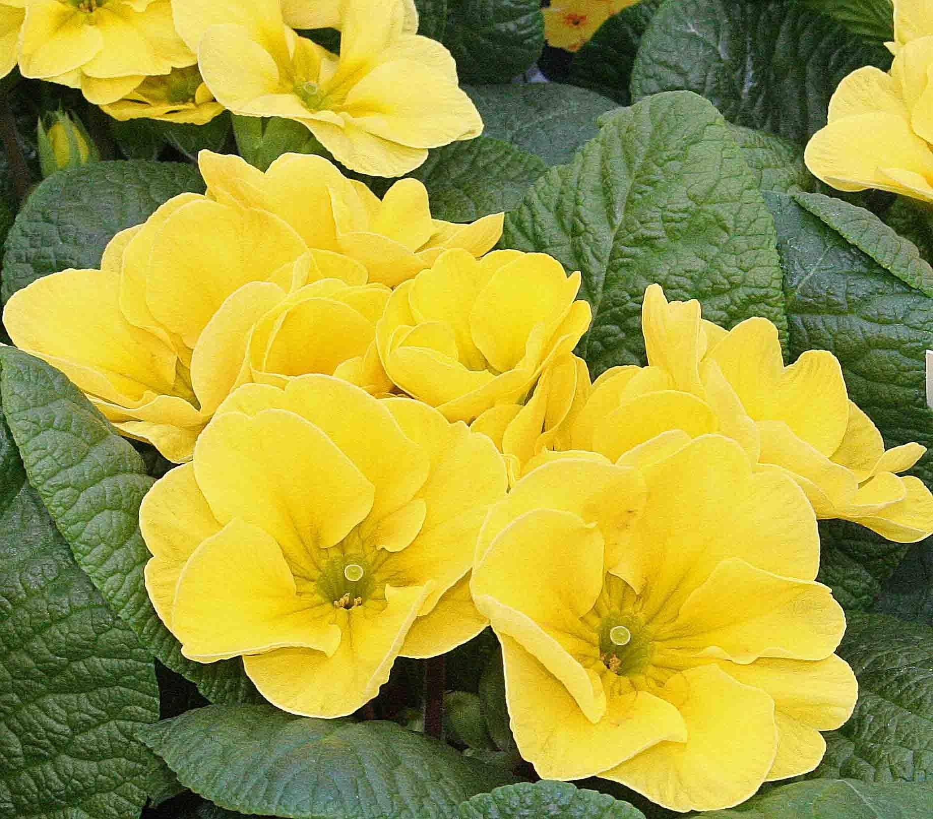 Free Photo Yellow Primrose Yellow Primrose Bloom Free
