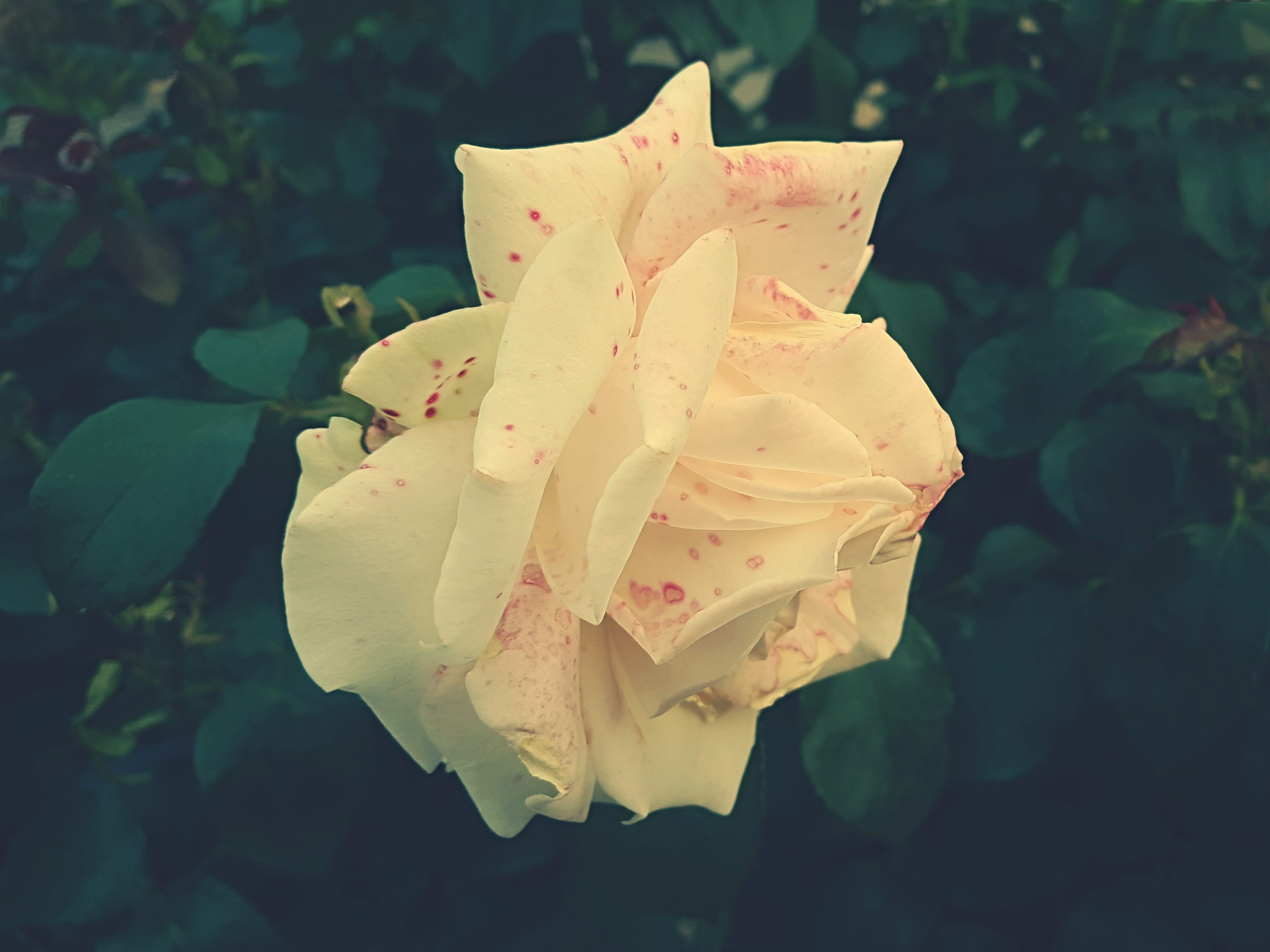 Yellow Rose, Bloom, Garden, Summer, Petals, HQ Photo