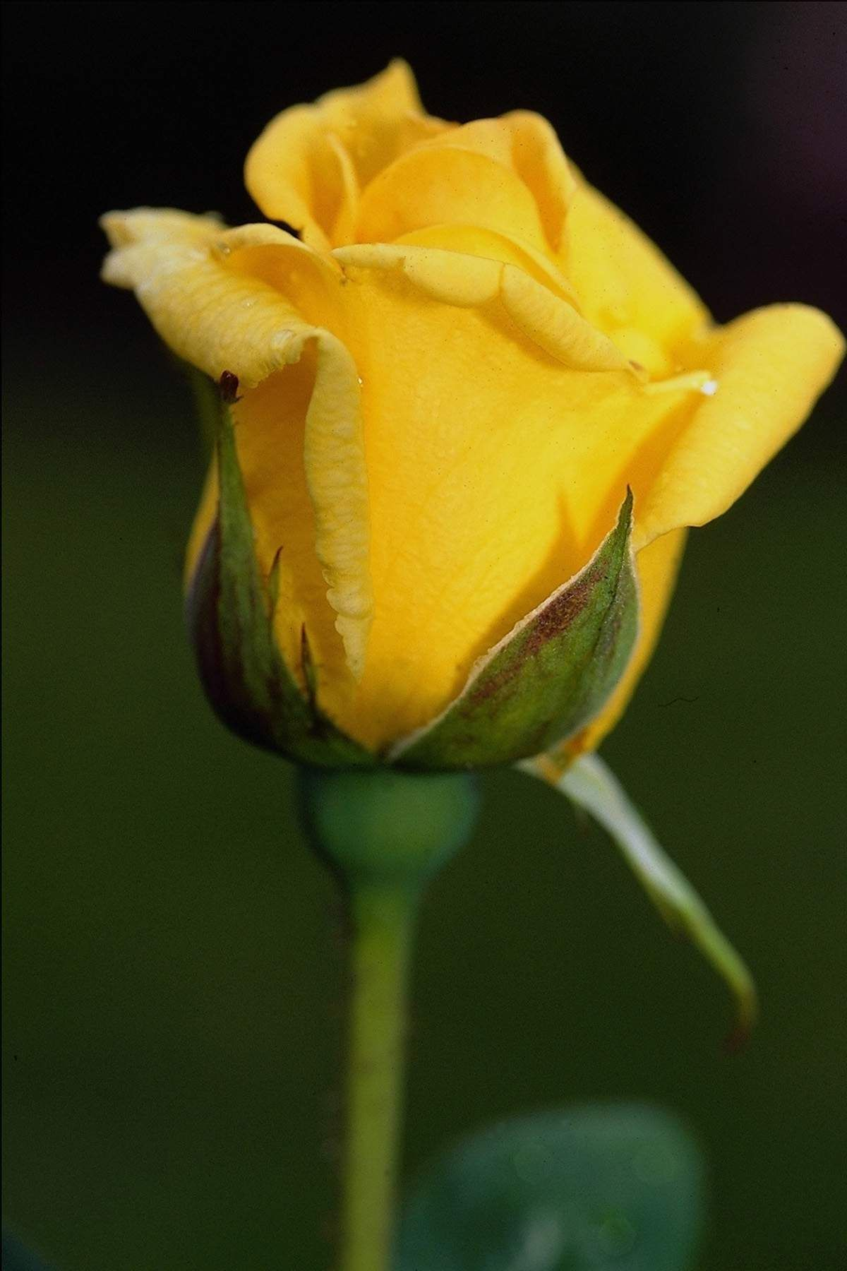Free Photo Yellow Rose Romance Petals Rose Free Download Jooinn