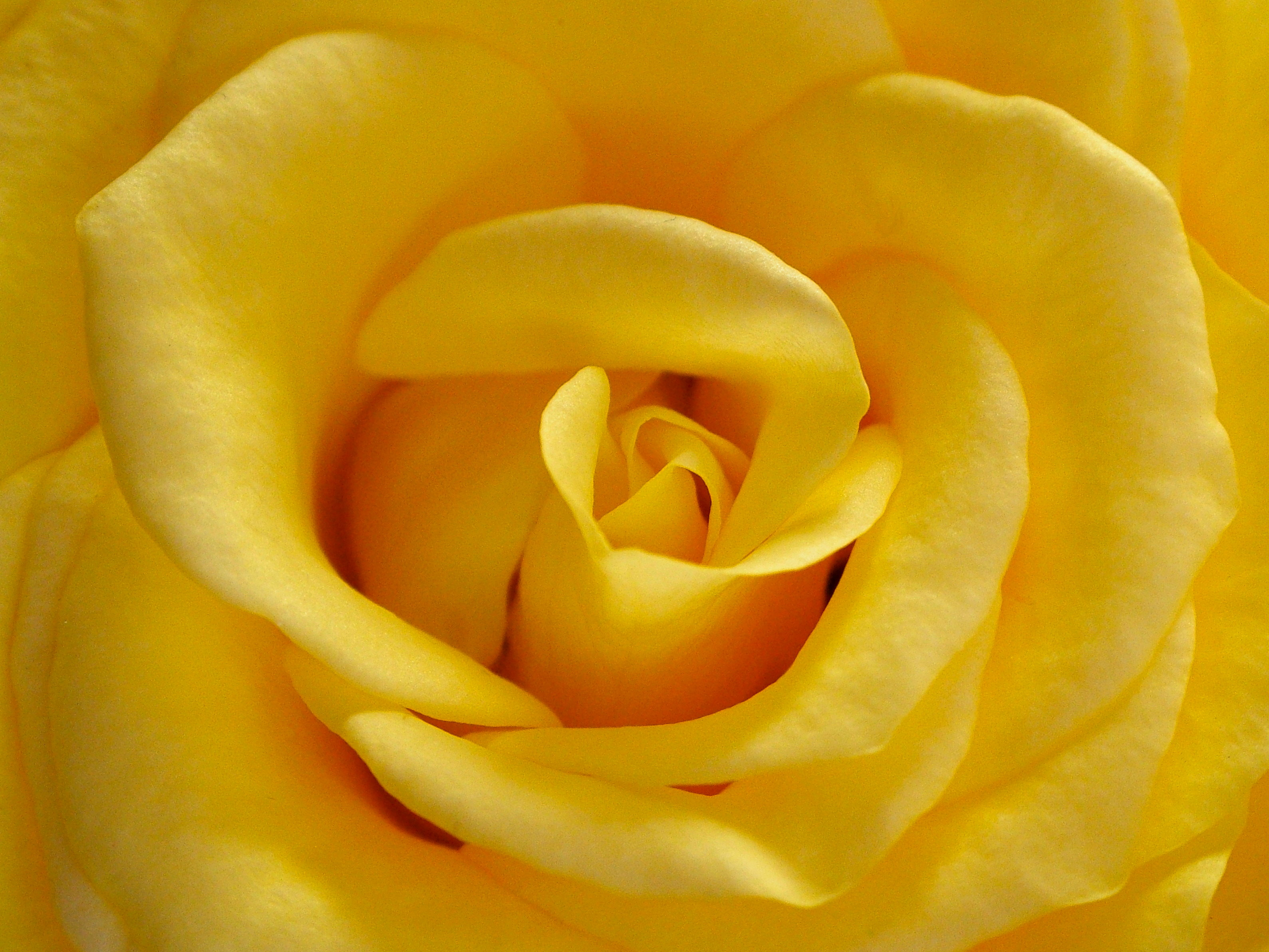 Yellow Rose, Bspo06, Closeup, Flower, Flower photos, HQ Photo