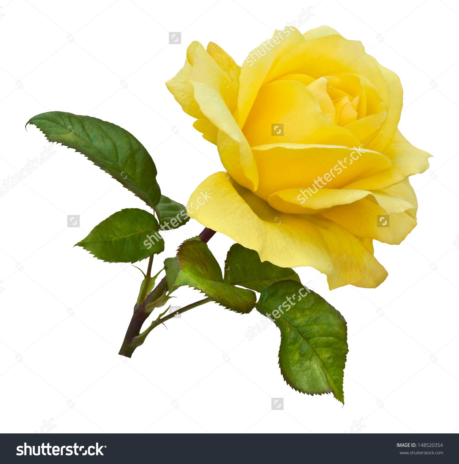 Free Photo Yellow Rose Rose Yellow Plant Free Download Jooinn