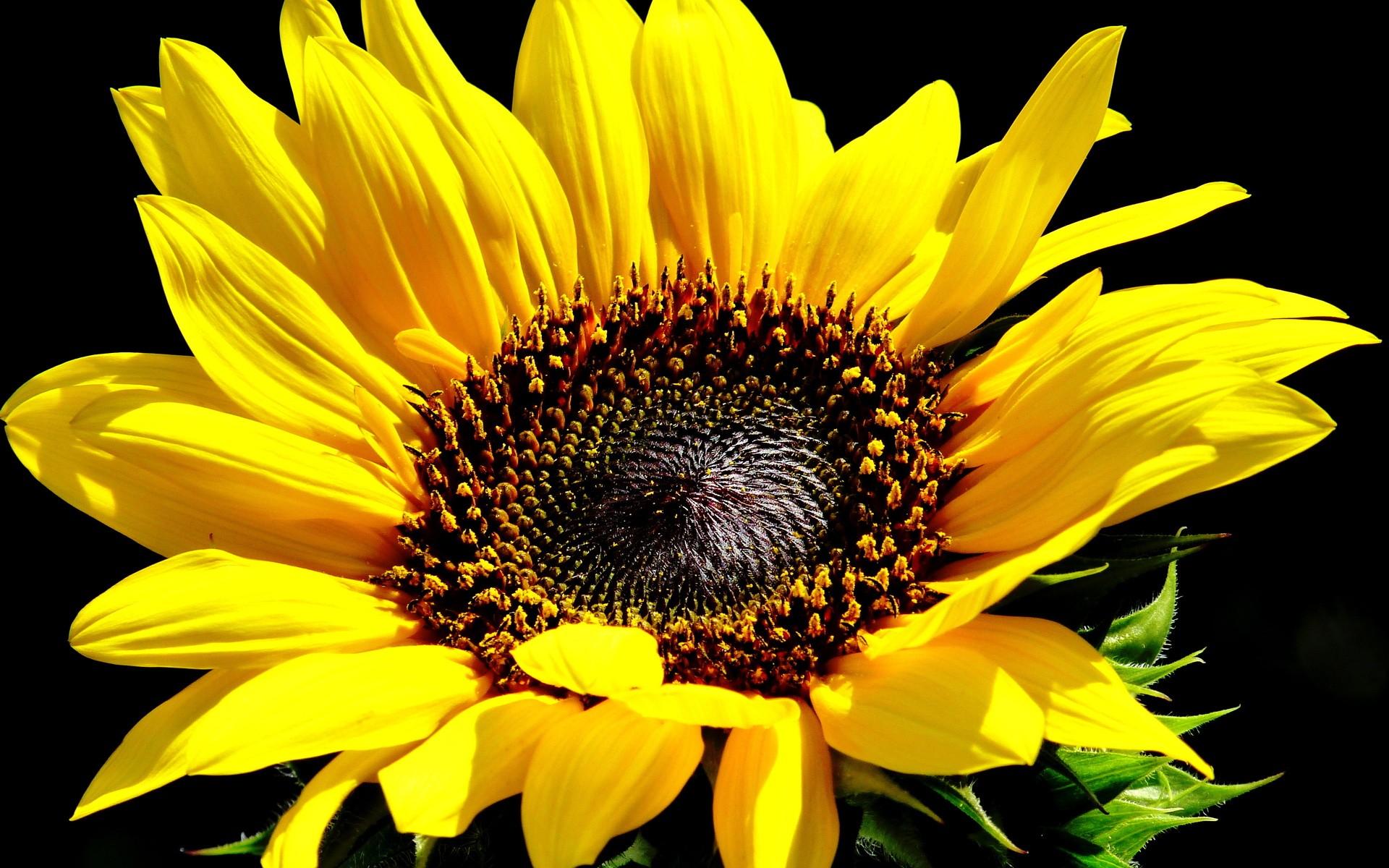 Flowers: Yellow Sunflowers Flower Sunflower Background Nature High ...