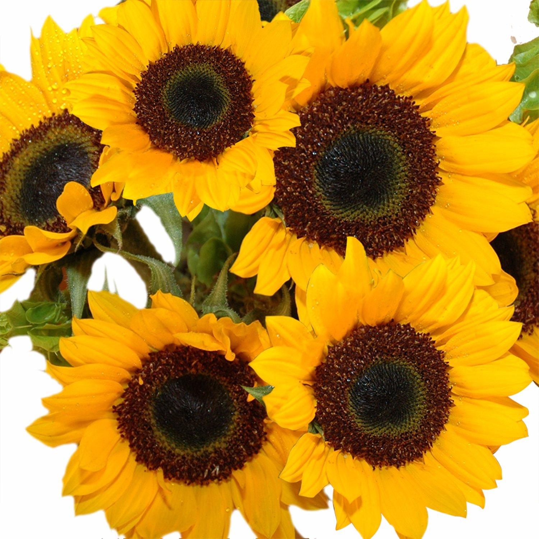 Amazon.com : GlobalRose 50 Fresh Cut Yellow Sunflowers - Fresh ...
